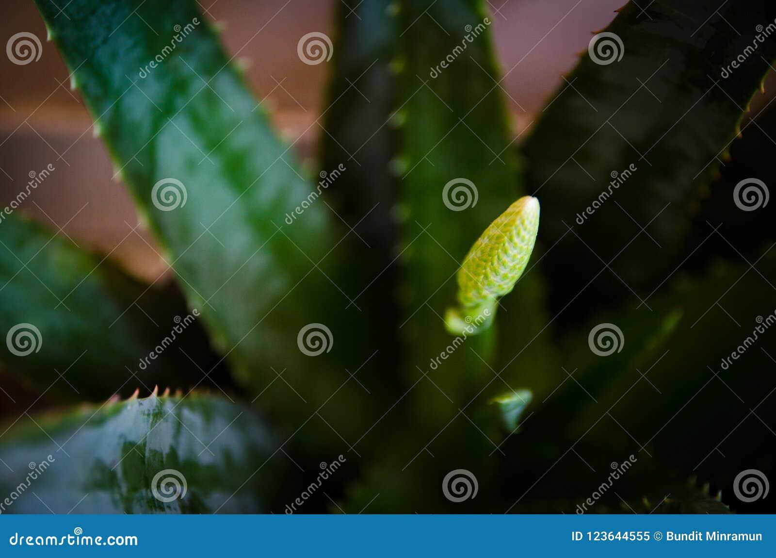 Áloe verde Vera Flower Bud en un jardín botánico