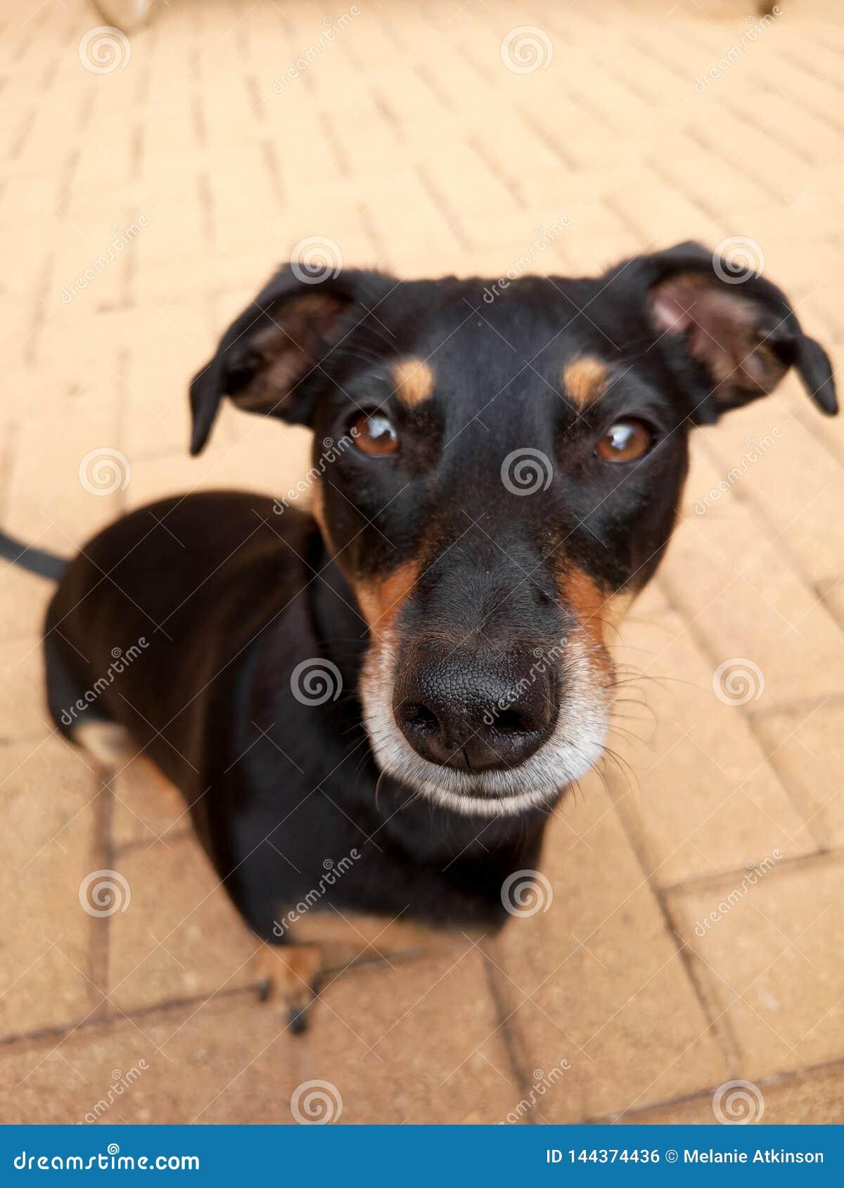 Ángulo elevado del pequeño perro negro lindo
