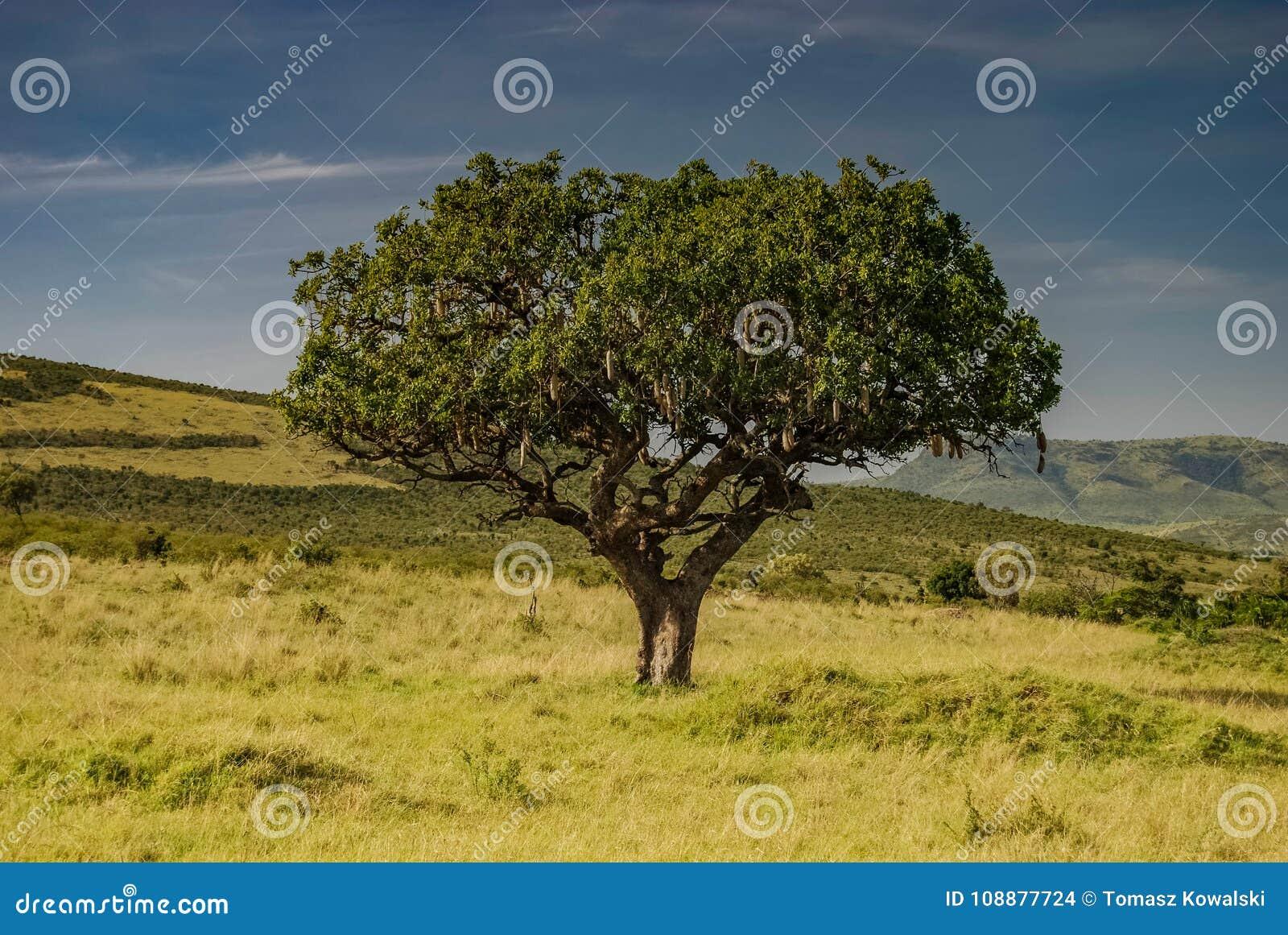 Árbol africano de la salchicha en Savannah Masai Mara Kenya