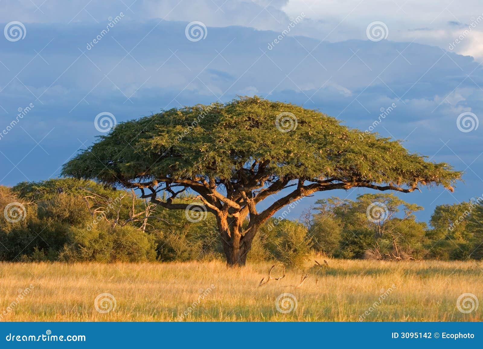 rbol africano del acacia