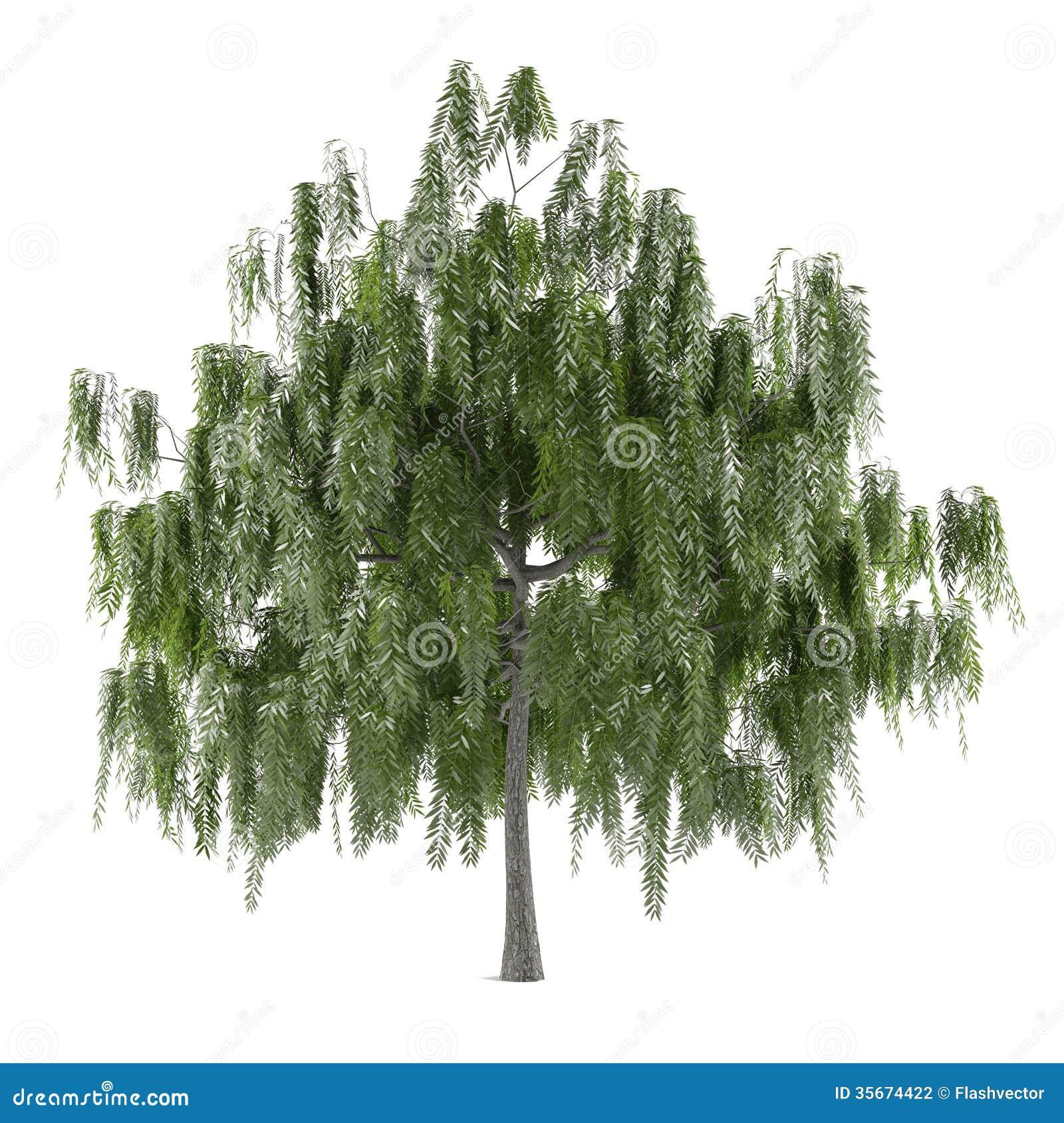 Árbol aislado. Salix alba