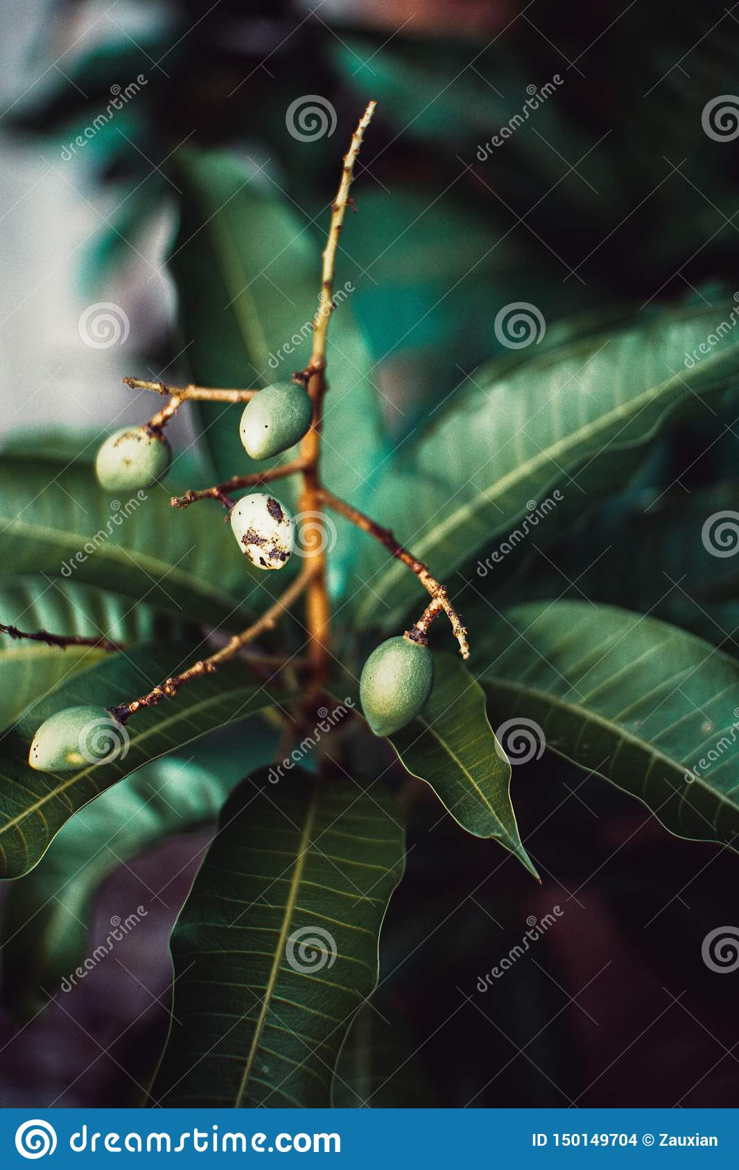 Árbol al aire libre del mango pequeño