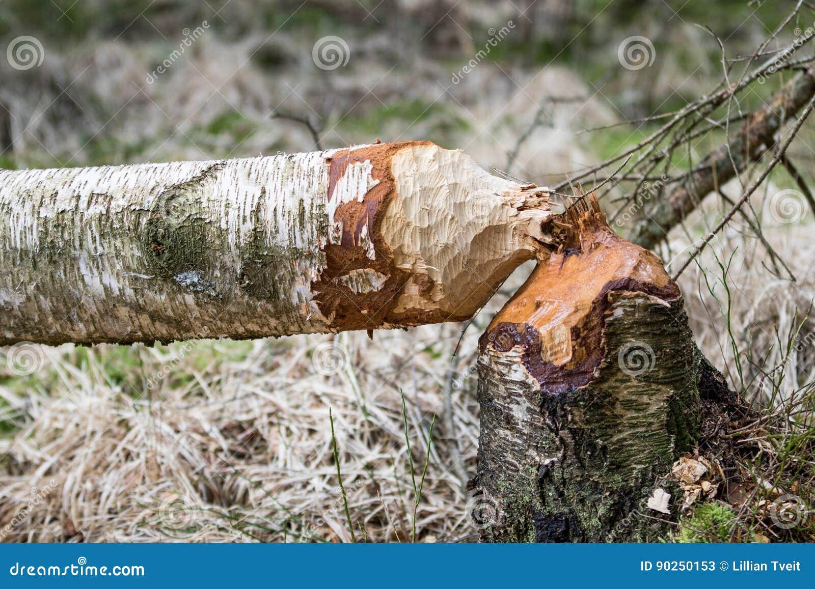 Árbol de abedul caido en el bosque roído por los castores