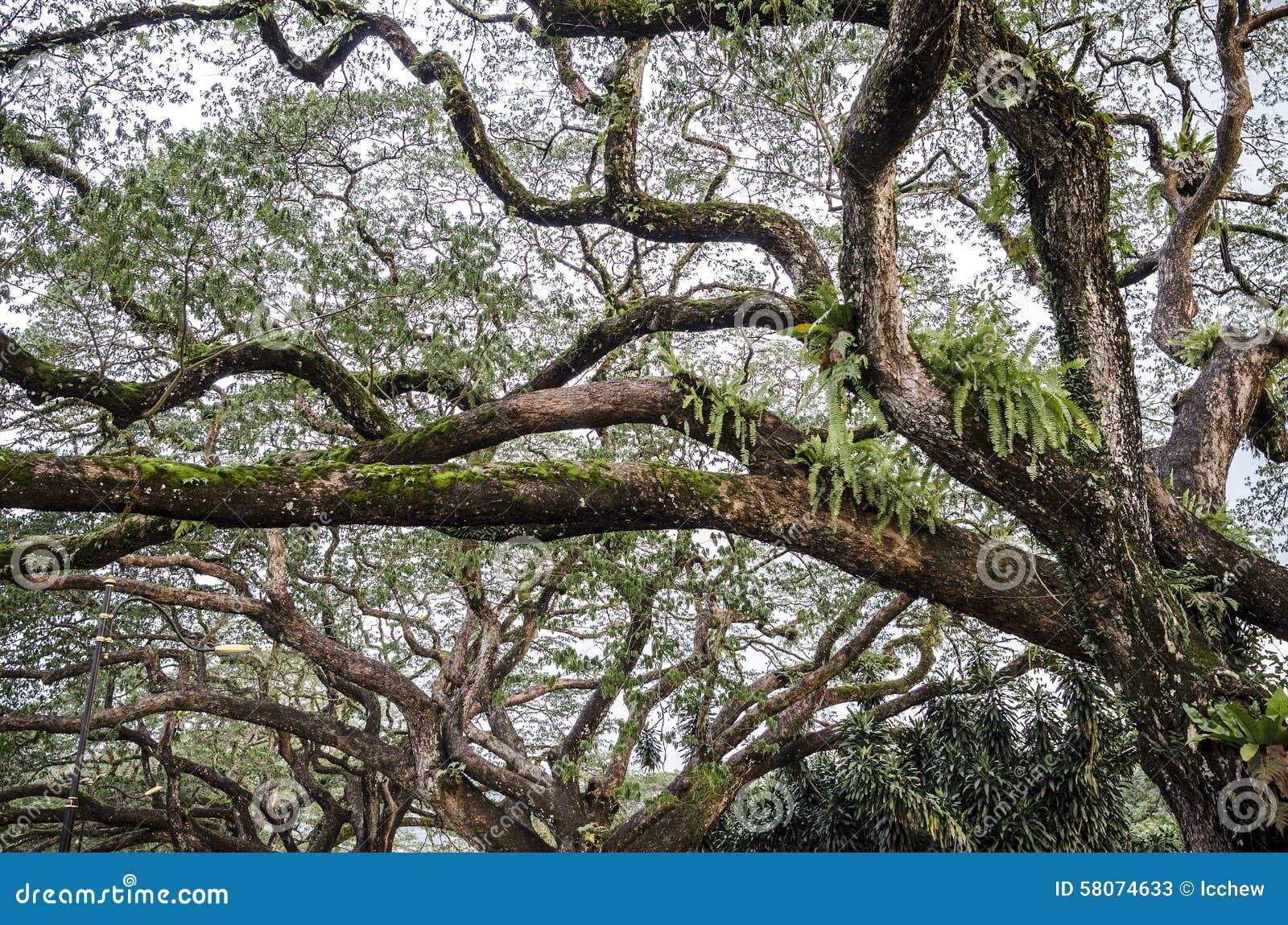 Árbol De Abedul Viejo Con Las Ramas Largas Imagen de archivo ...