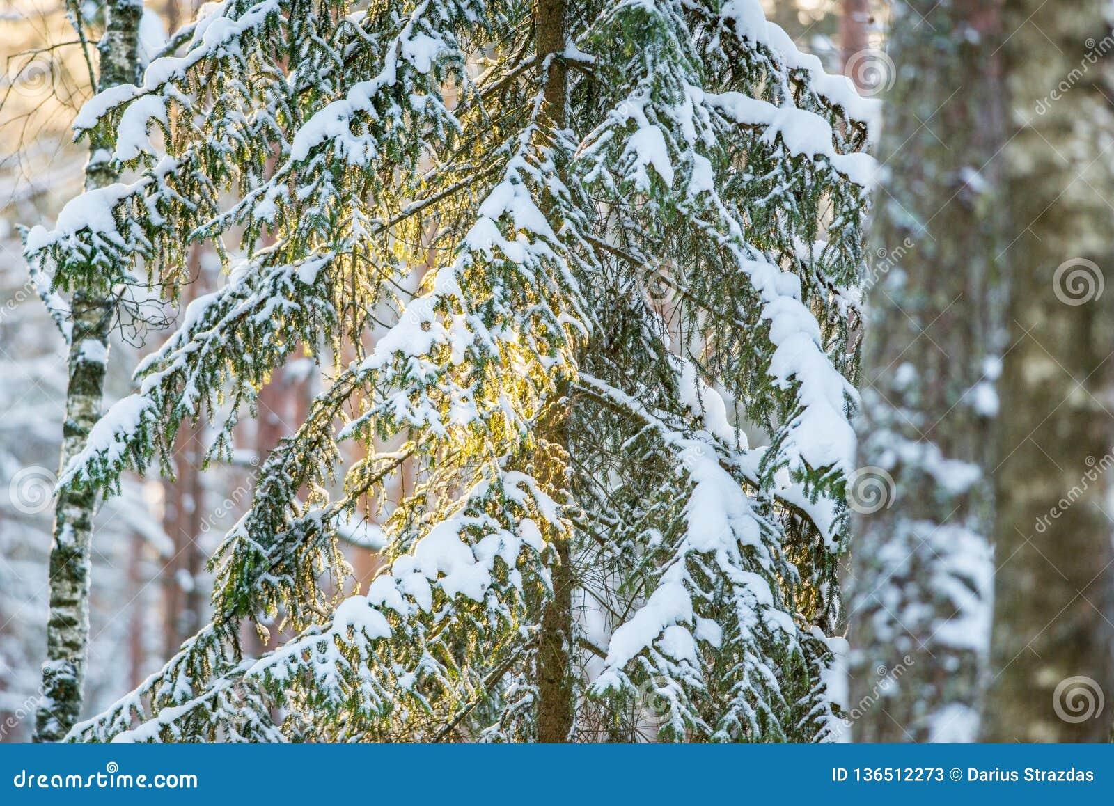 Árbol de abeto del primer del invierno en la luz anaranjada de la salida del sol