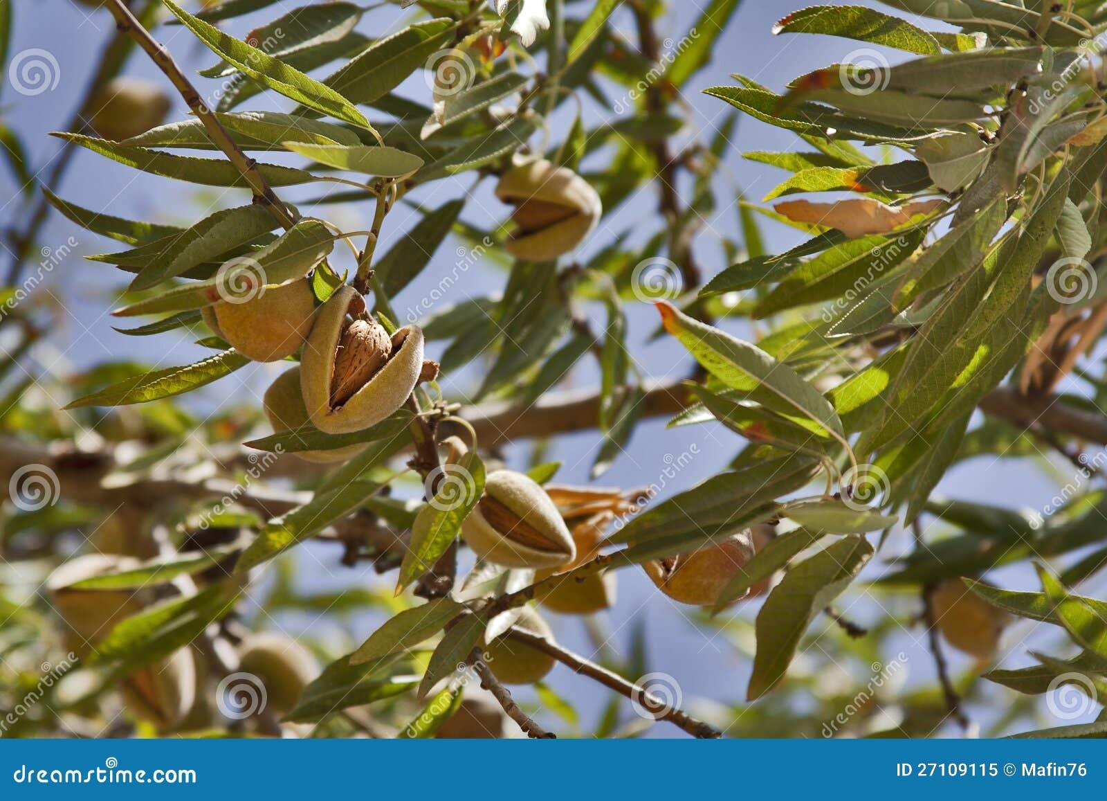 árbol De Almendra Imagen De Archivo Imagen De Verano 27109115
