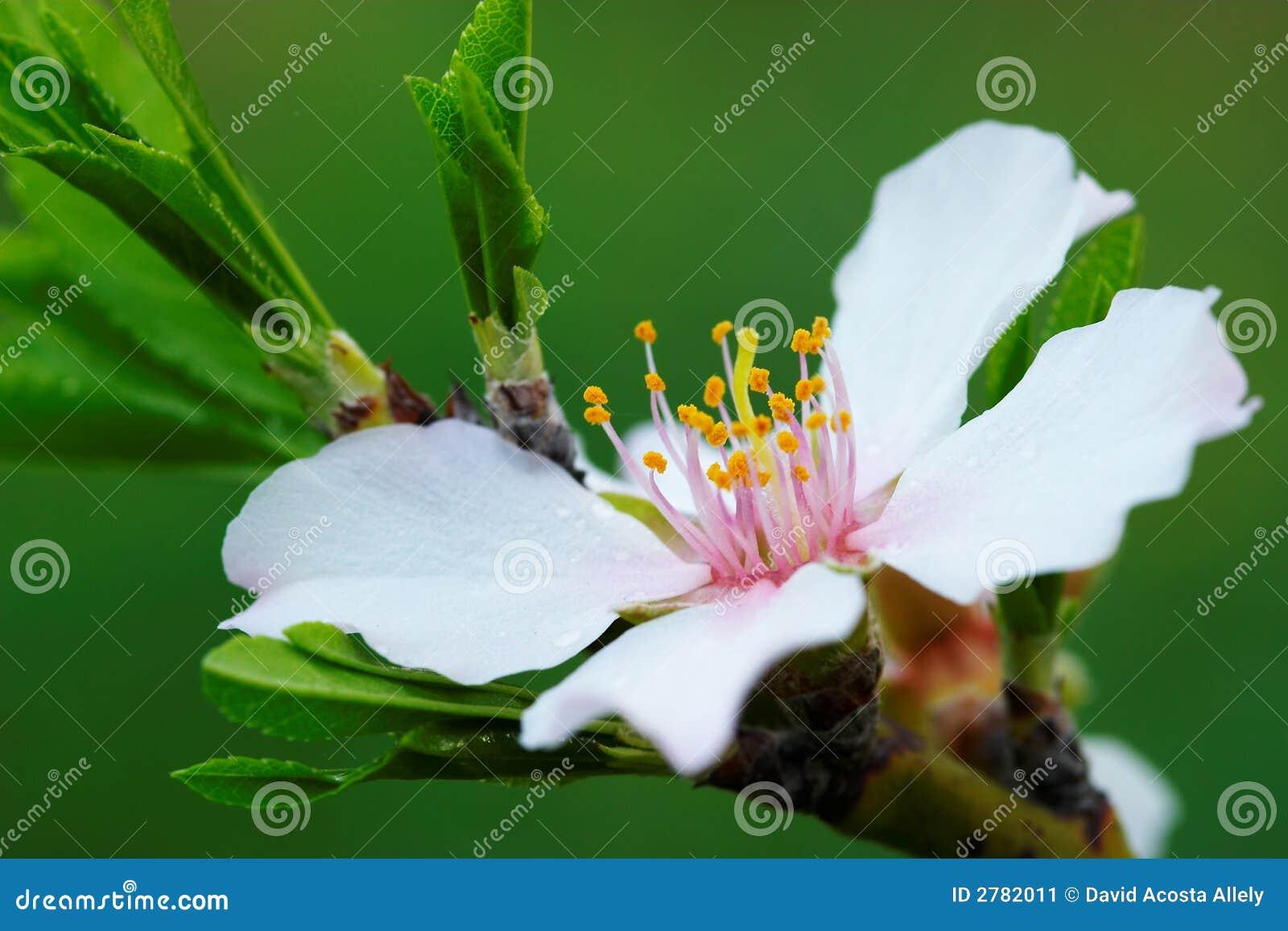 Árbol de almendra de la flor
