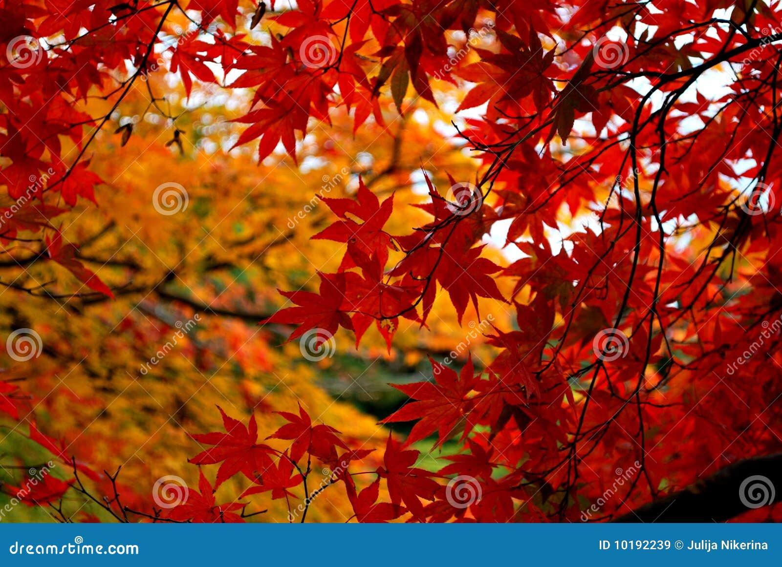Árbol de arce en otoño