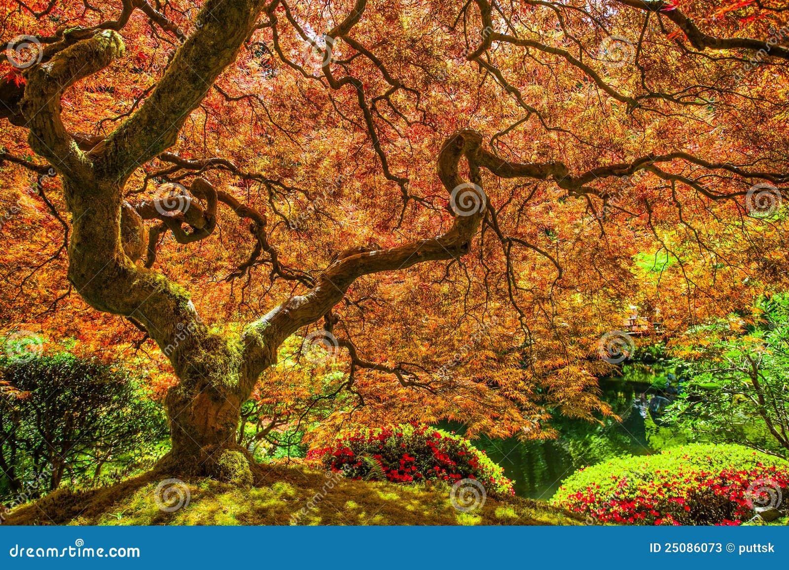 Rbol de arce japon s rojo imagen de archivo imagen de for Arboles para jardin japones