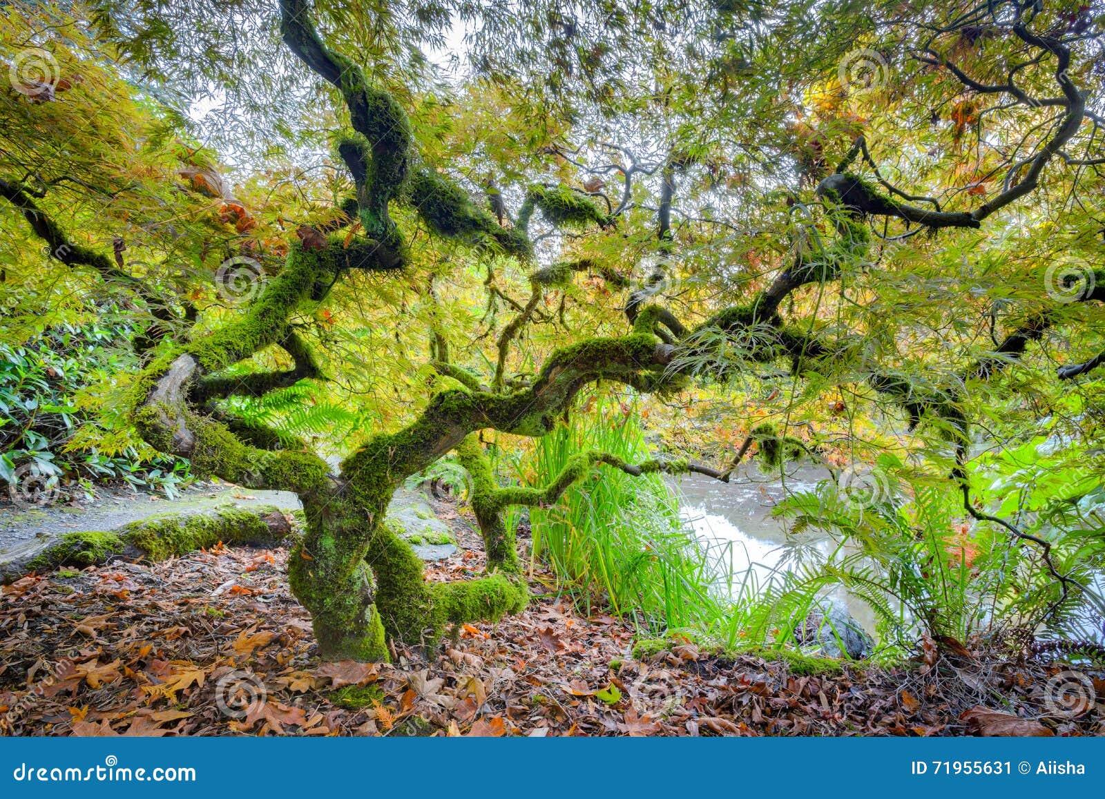 Rbol de arce japon s verde imagen de archivo imagen for Arboles para jardin japones