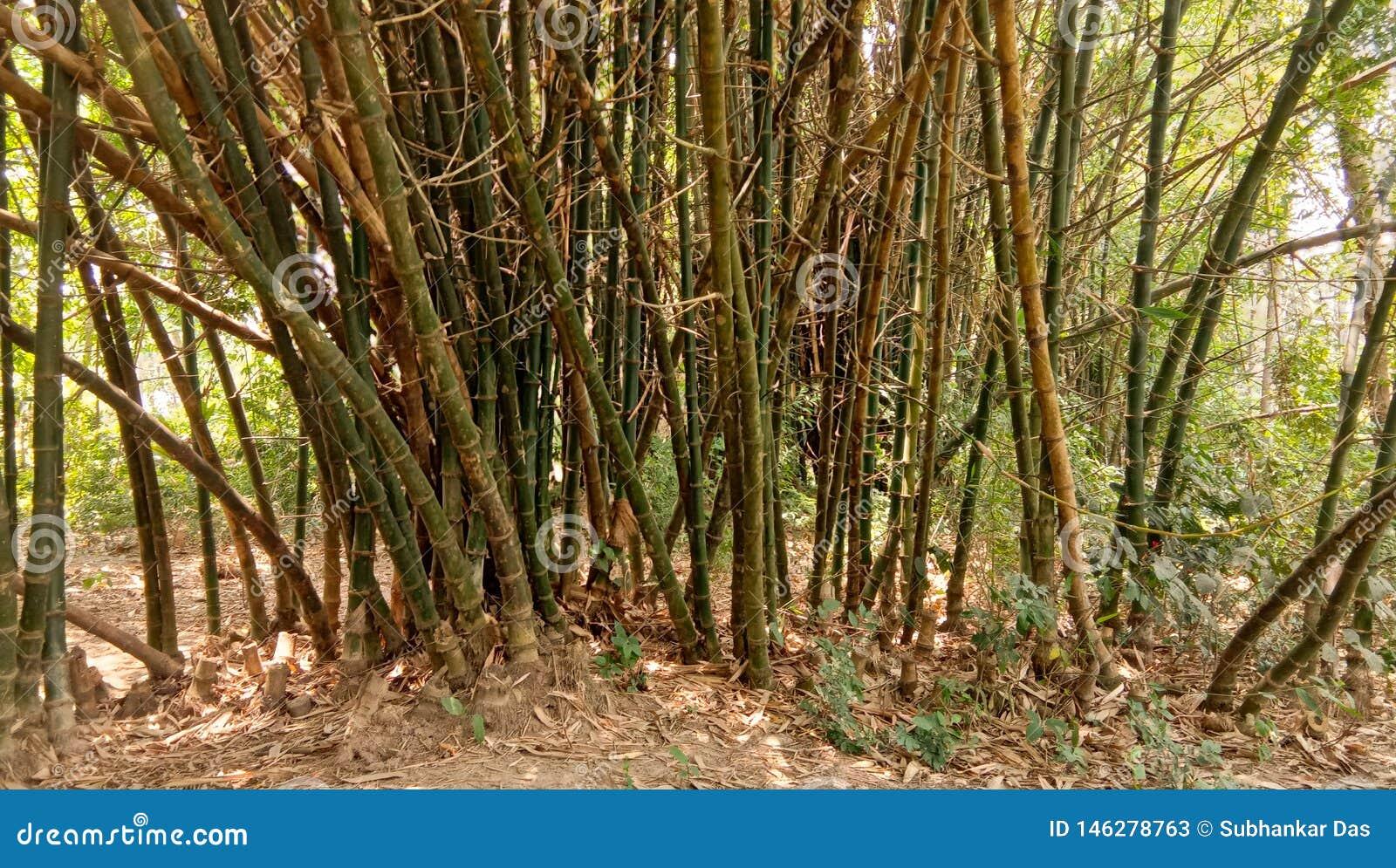 Árbol de bambú en bosque tropical en una imagen del mediodía del verano