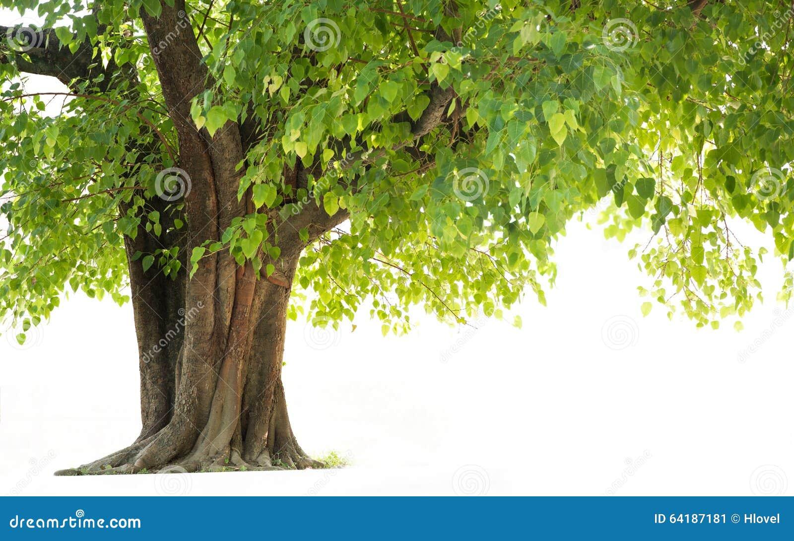 Árbol de Bodhi