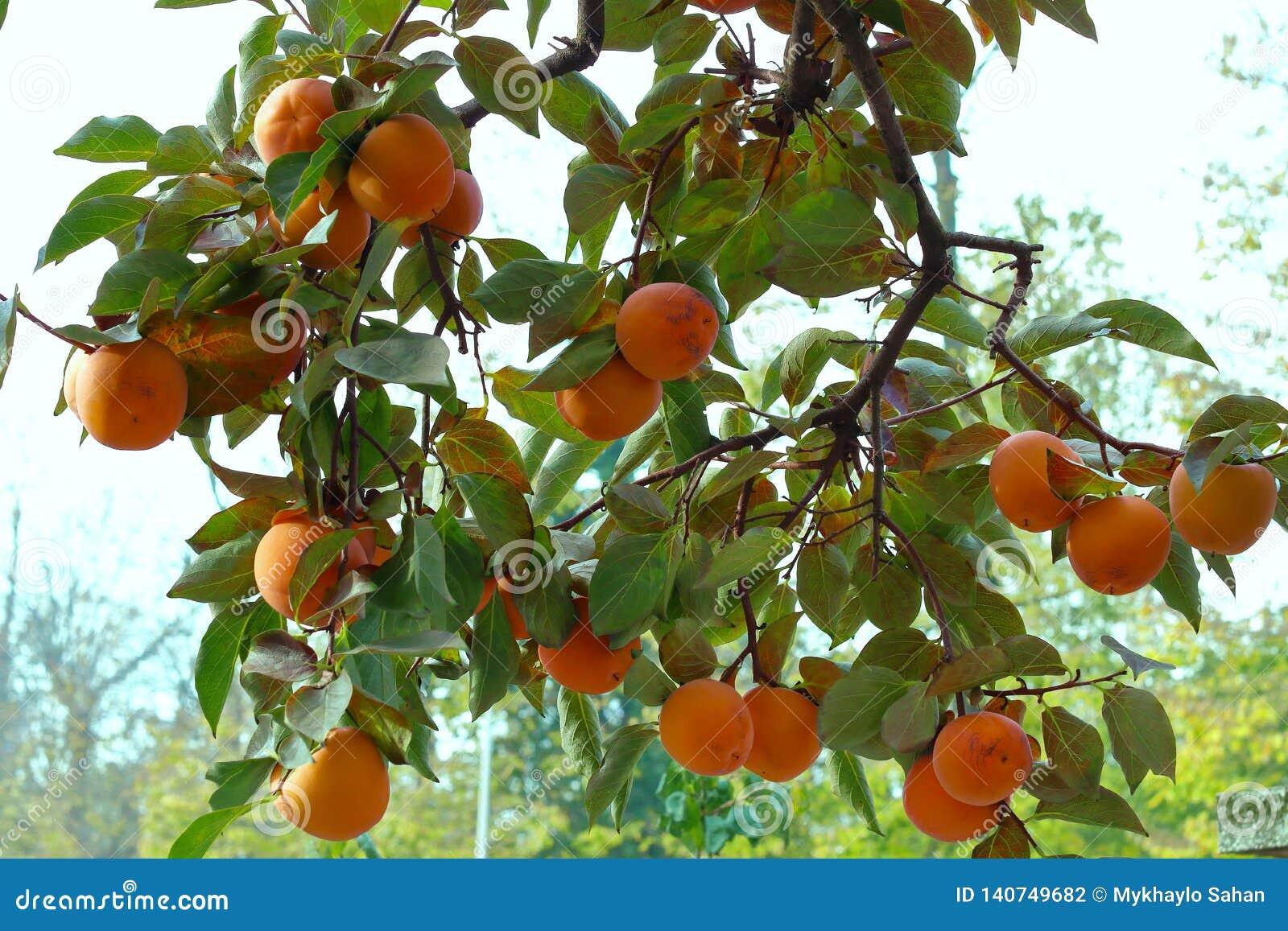 Árbol de caqui con las frutas anaranjadas maduras en el jardín del otoño