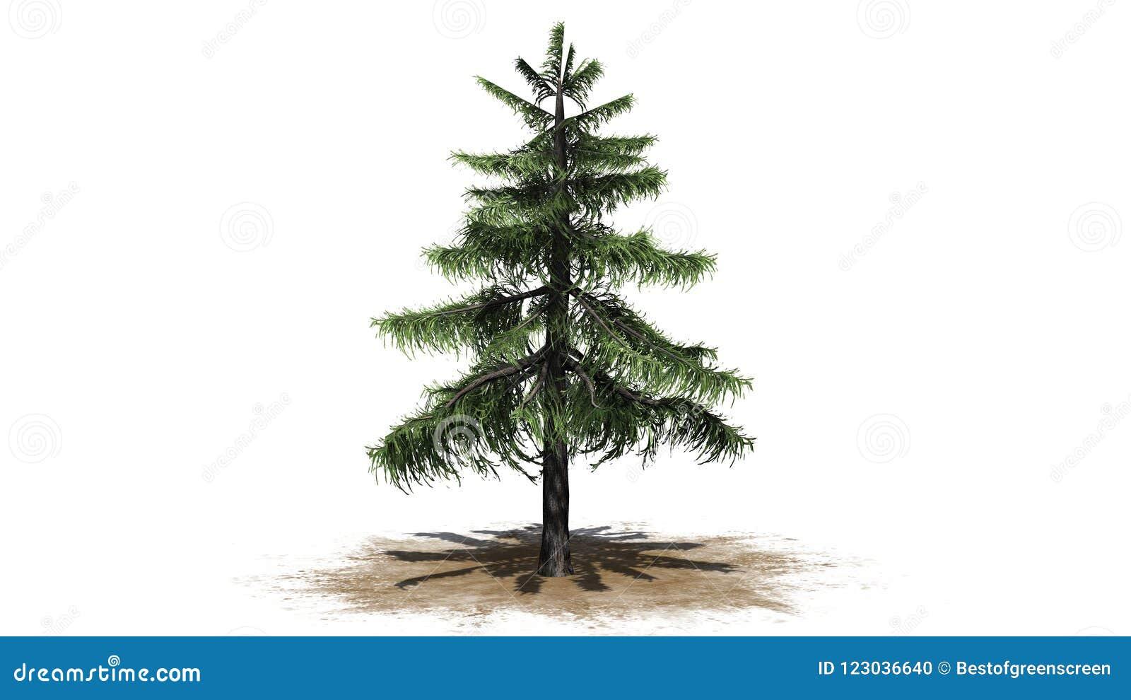 Árbol de cedro de Alaska