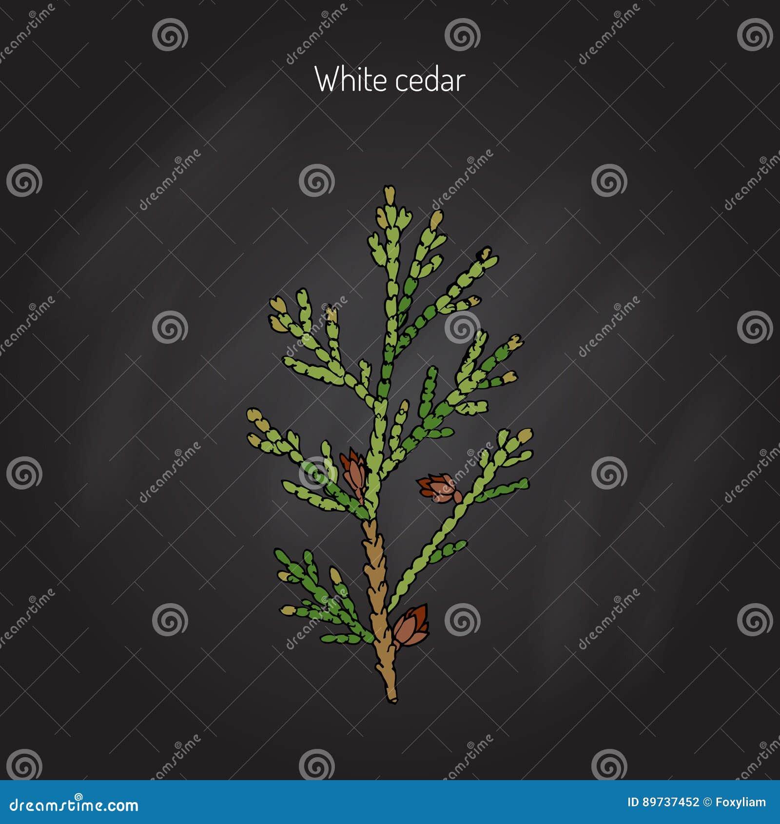 Árbol de cedro blanco