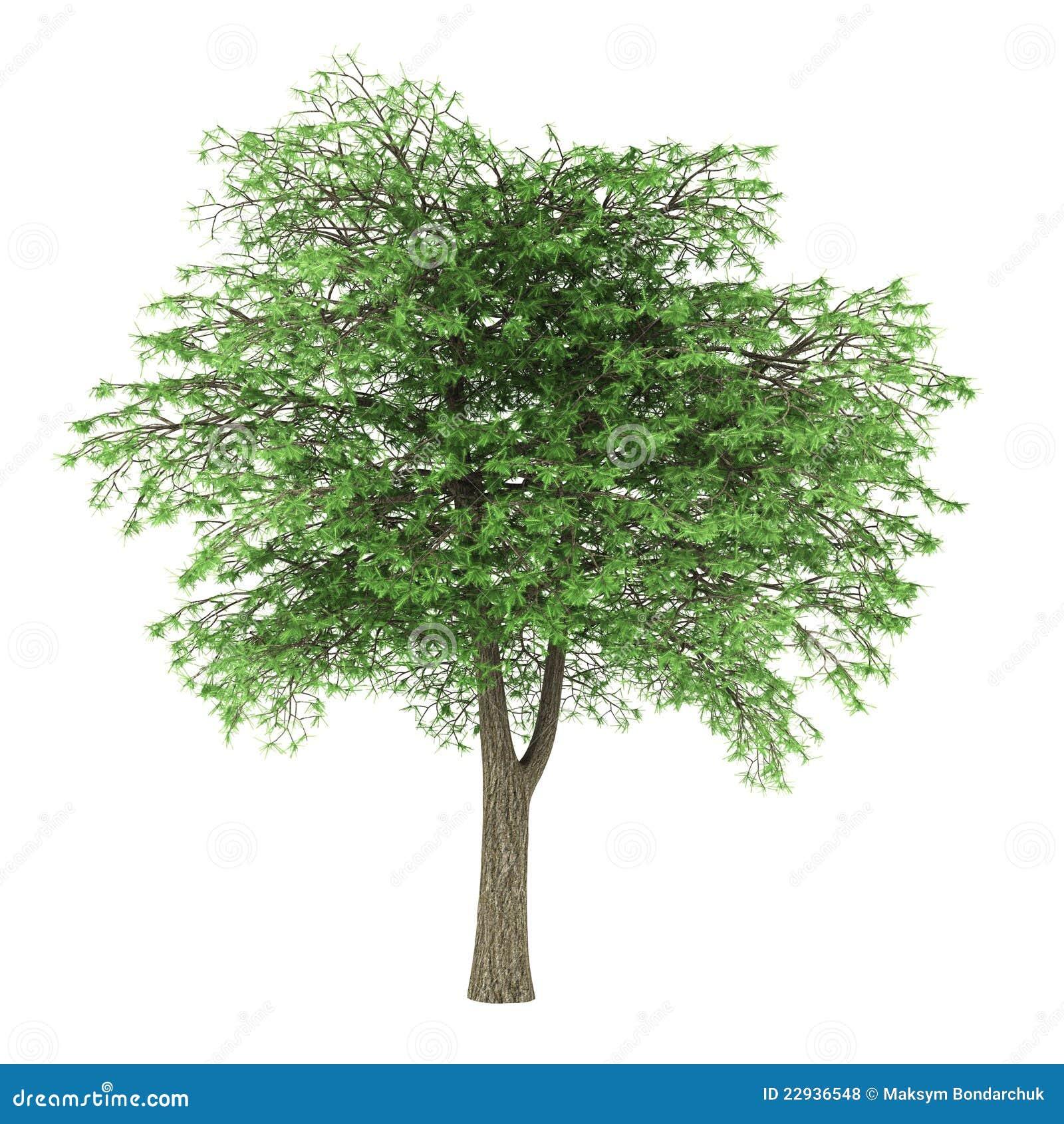 Árbol de cedro de Líbano aislado en blanco
