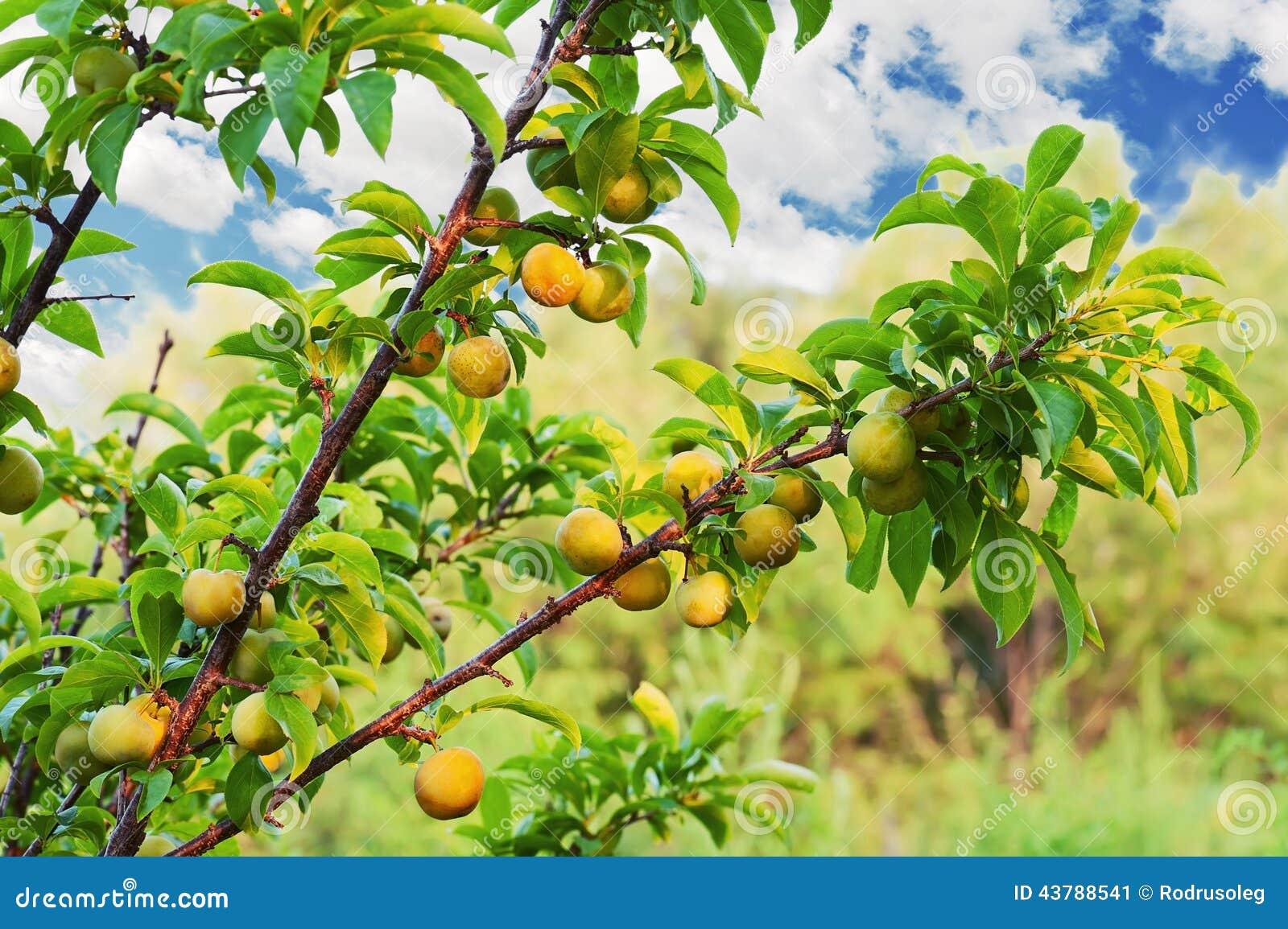 Rbol de ciruelo amarillo con el crecimiento de frutas en for Arbol ciruelo de jardin