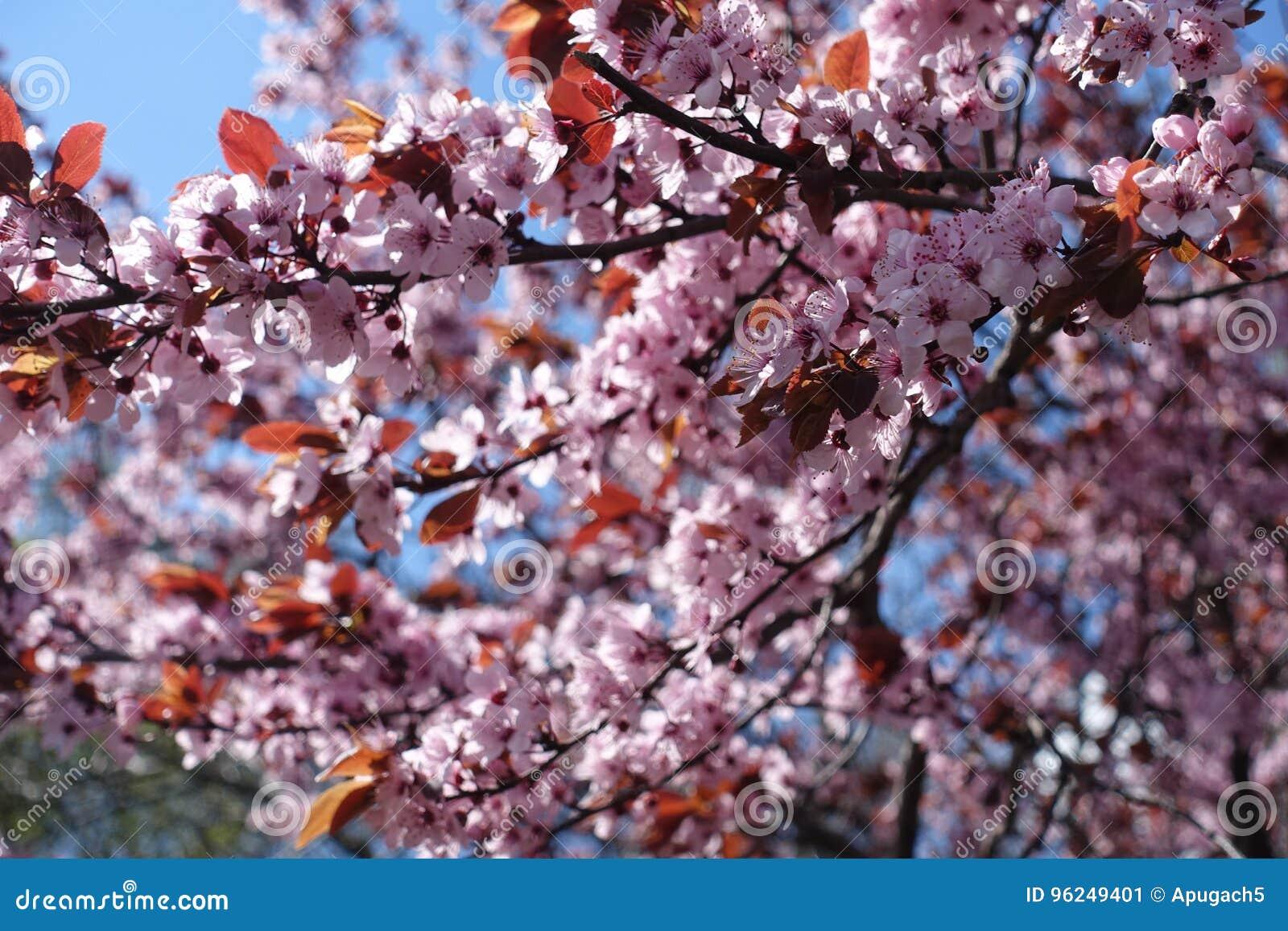Árbol de ciruelo hojeado púrpura en la plena floración