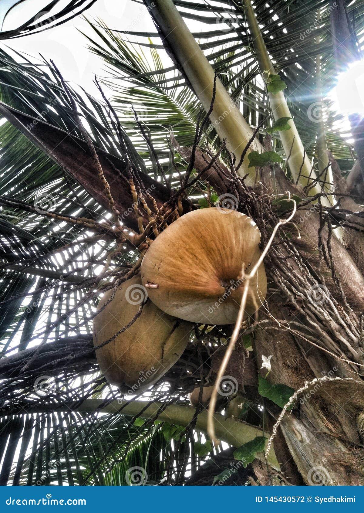 Árbol de coco con una hoja y un fondo nublado