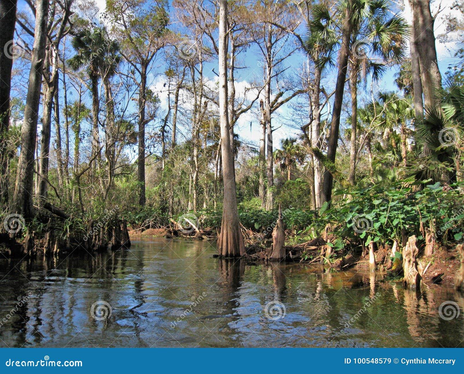 Árbol de Cypress del río de Loxahatchee