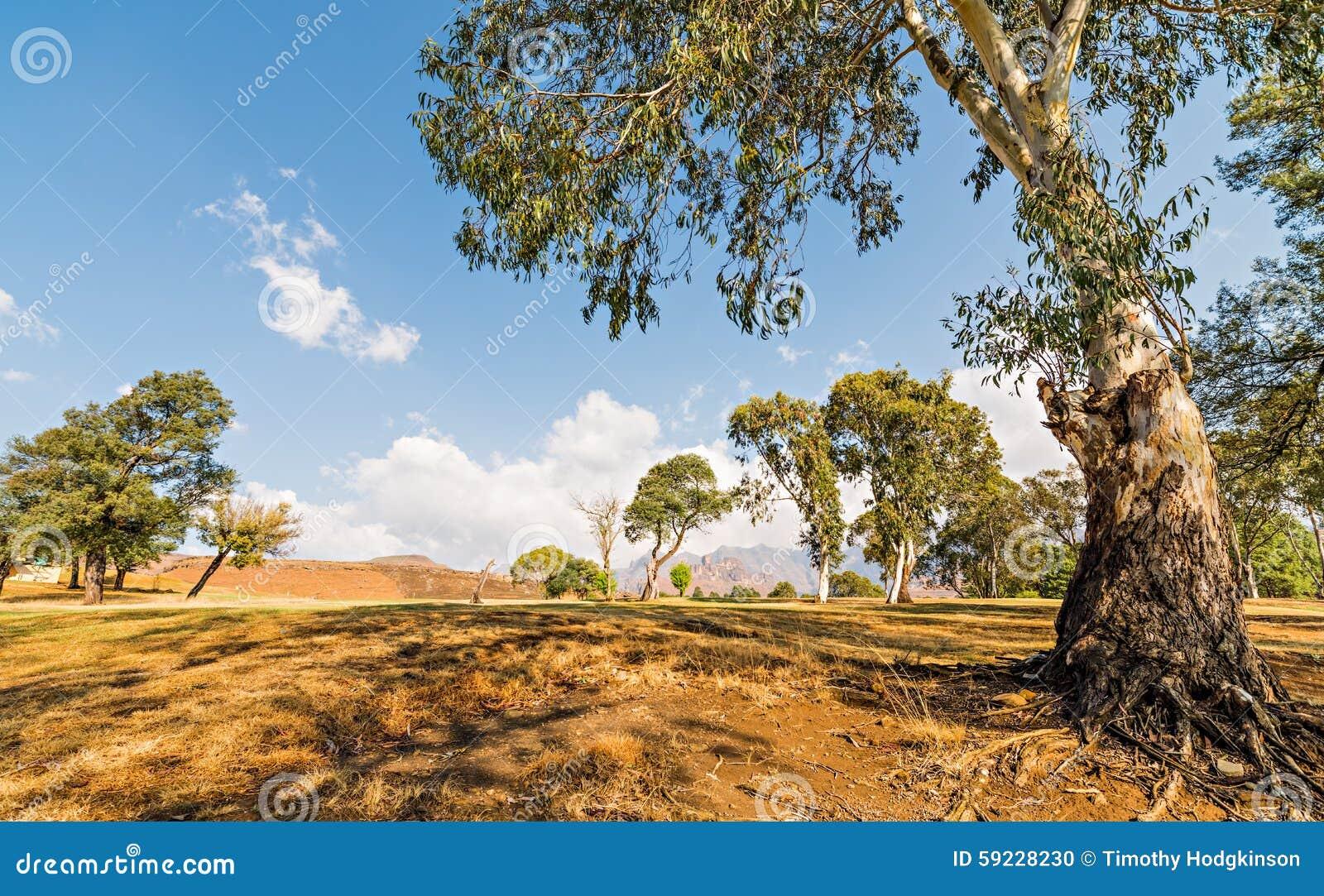 Download Árbol de eucalipto foto de archivo. Imagen de hiking - 59228230