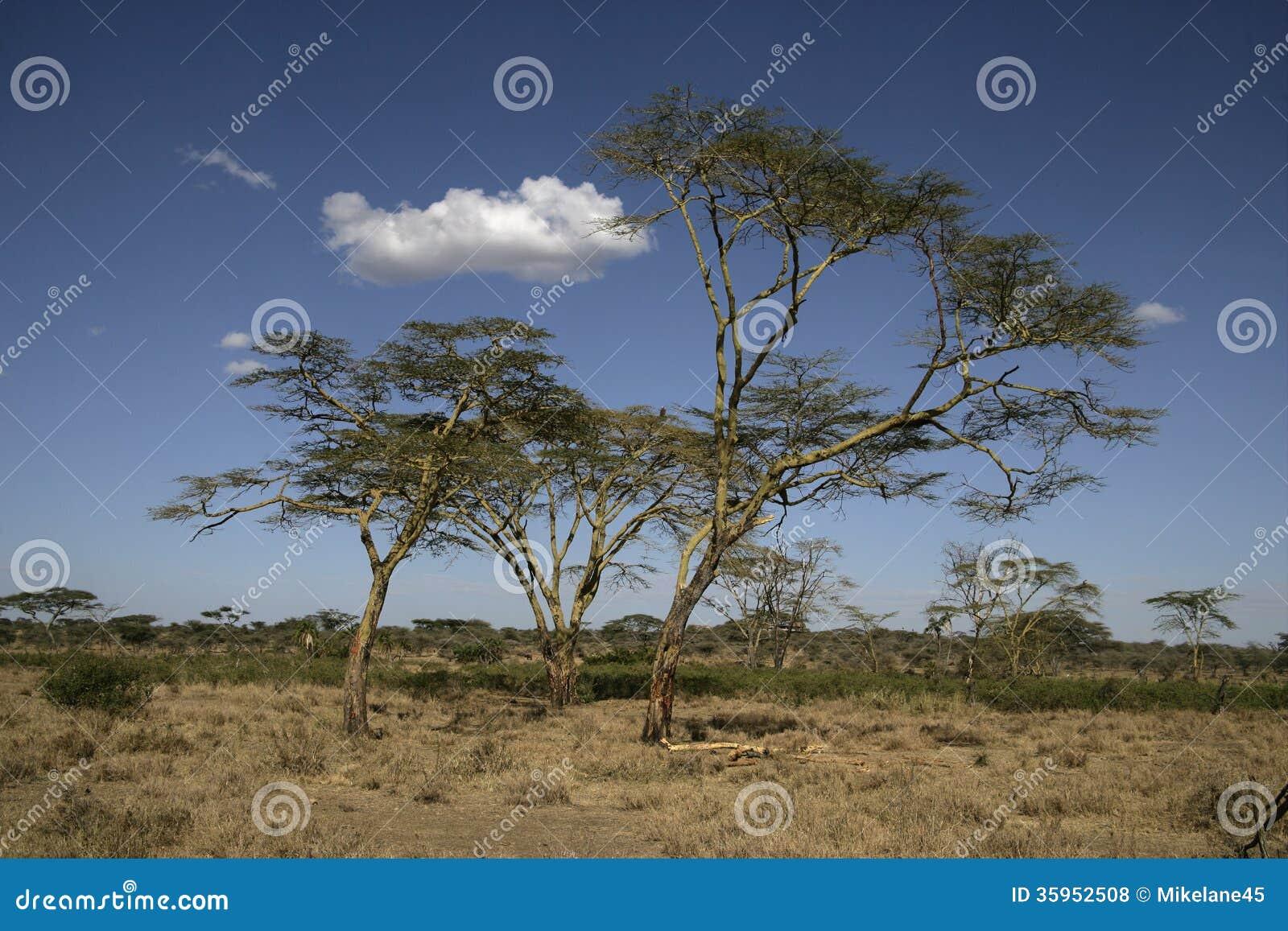 Árbol de fiebre amarilla, xanthophloea del acacia,