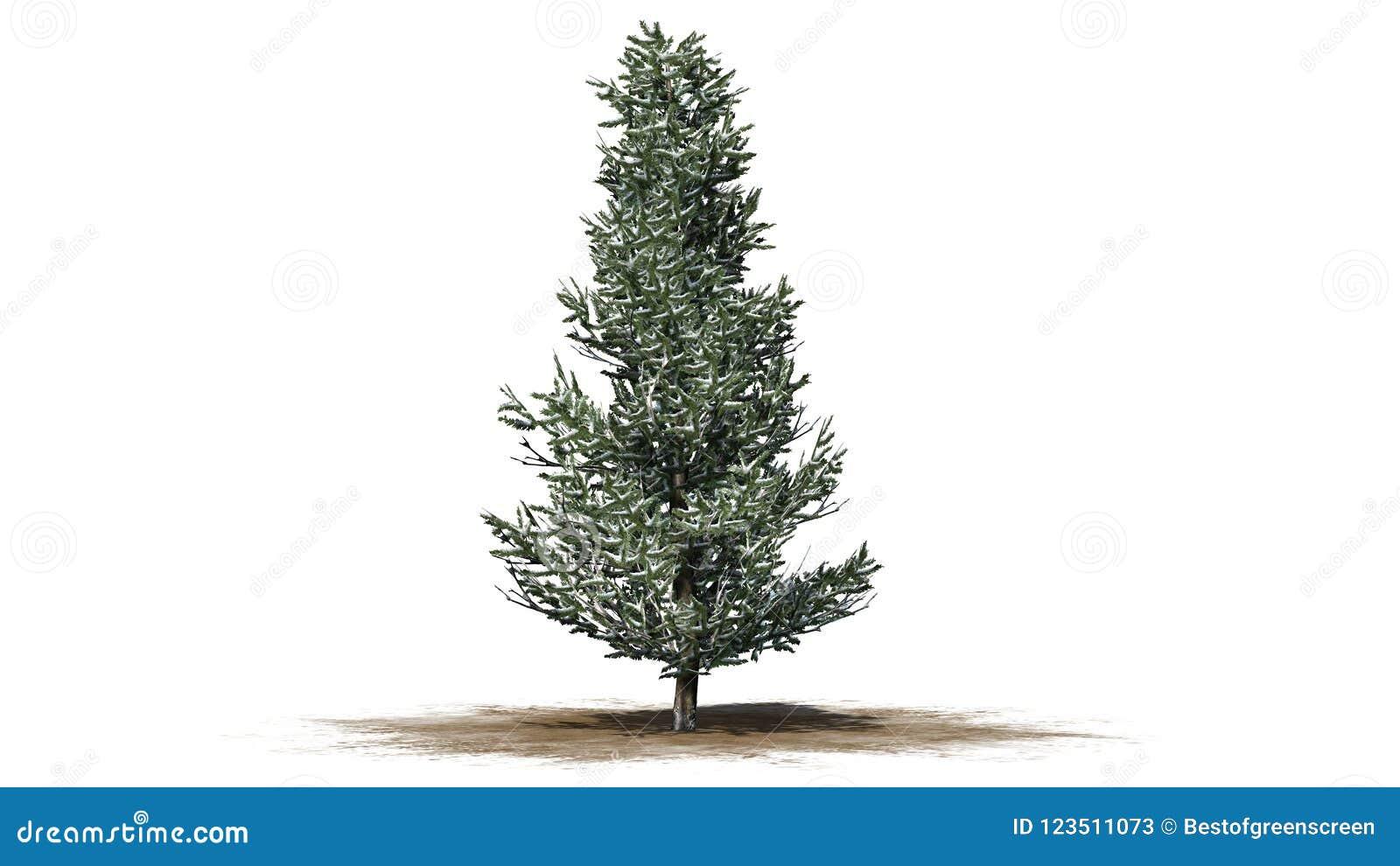 Árbol de Fraser Fir en el invierno