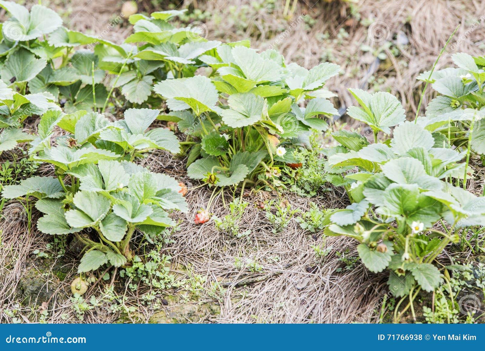 Árbol de fresa