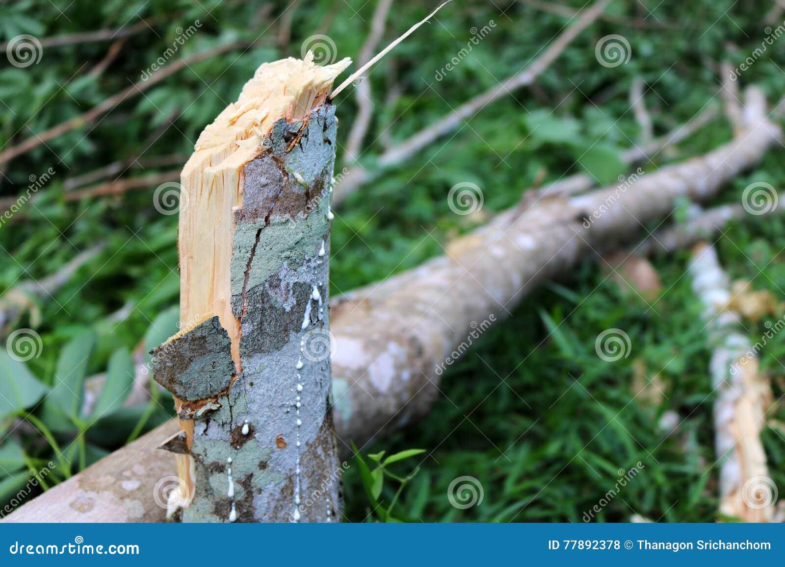 Árbol de goma roto