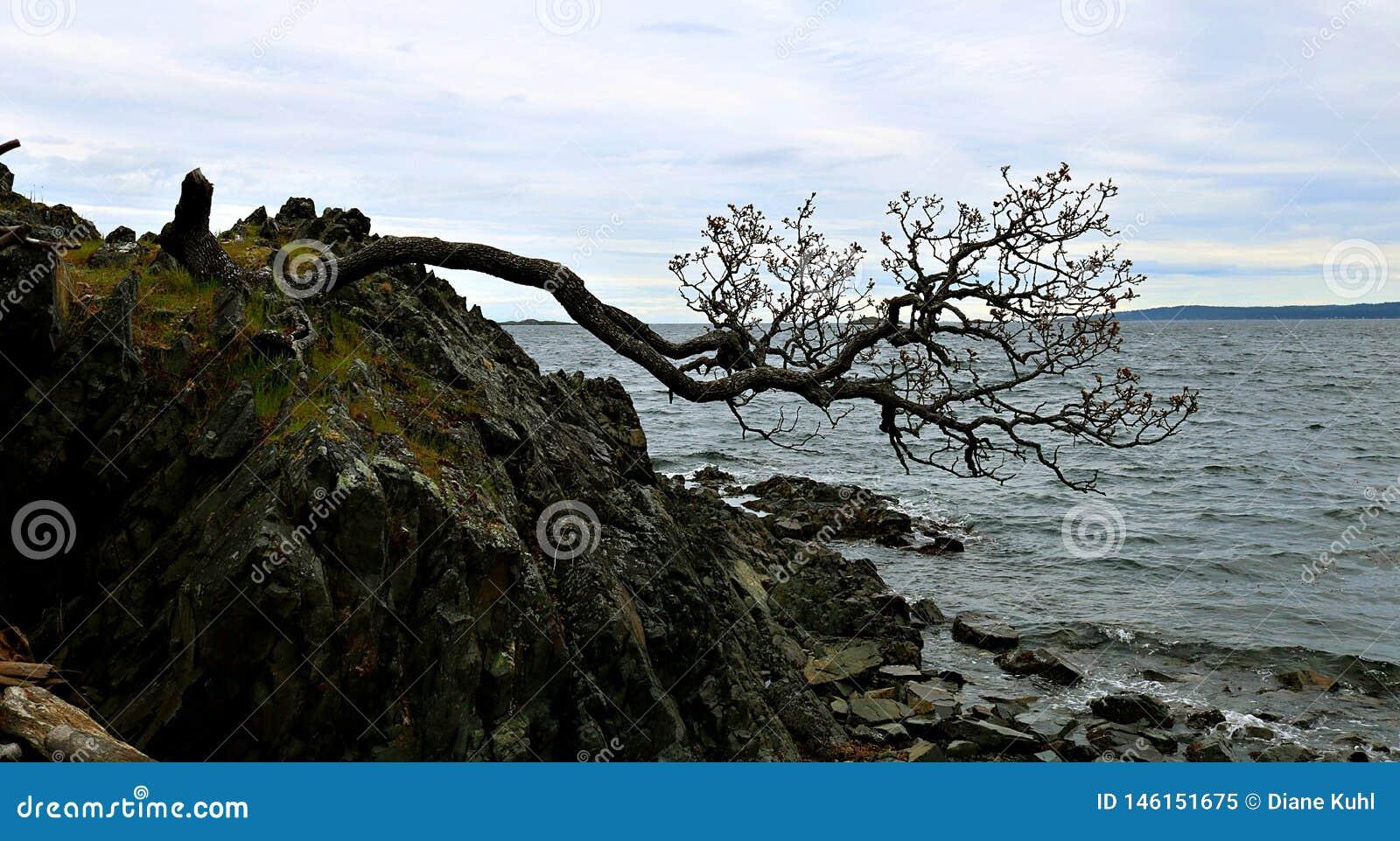 Árbol de Knarly que lucha para sobrevivir en el borde del acantilado de la roca