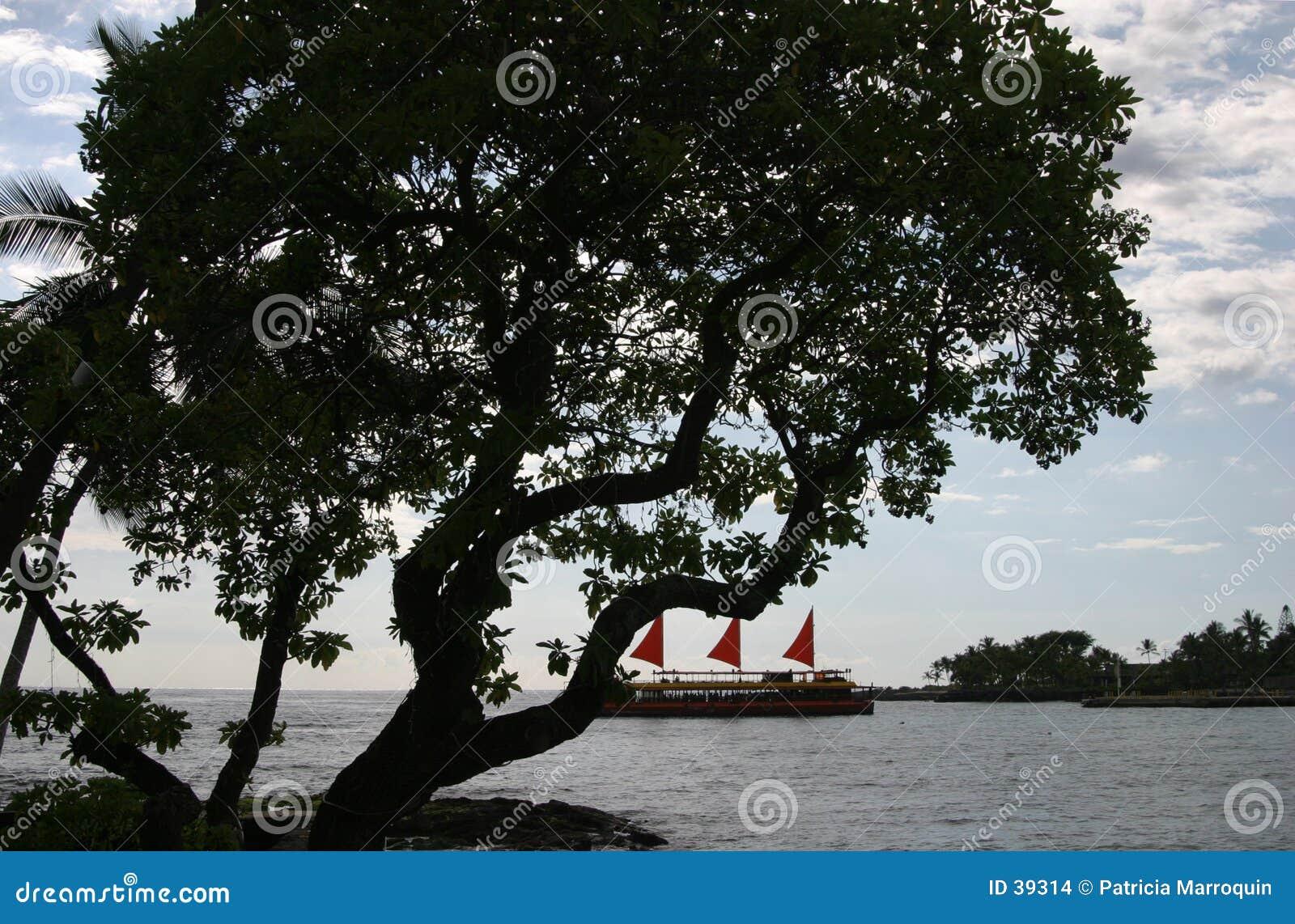 Download Árbol de Kona foto de archivo. Imagen de barco, hojas, grande - 39314