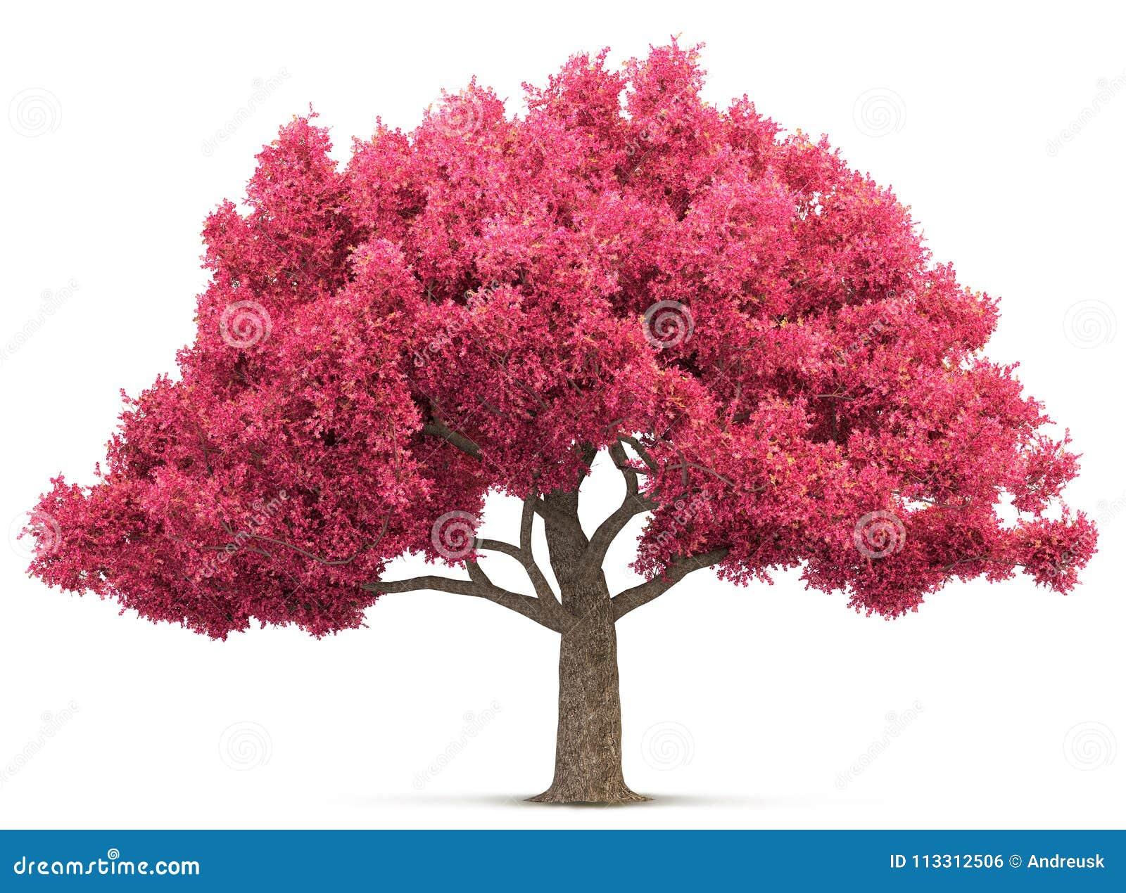 Árbol De La Flor De Cerezo Aislado Foto De Archivo
