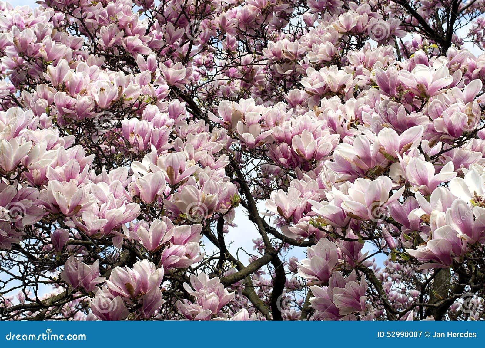 Árbol de la magnolia en la floración en el jardín