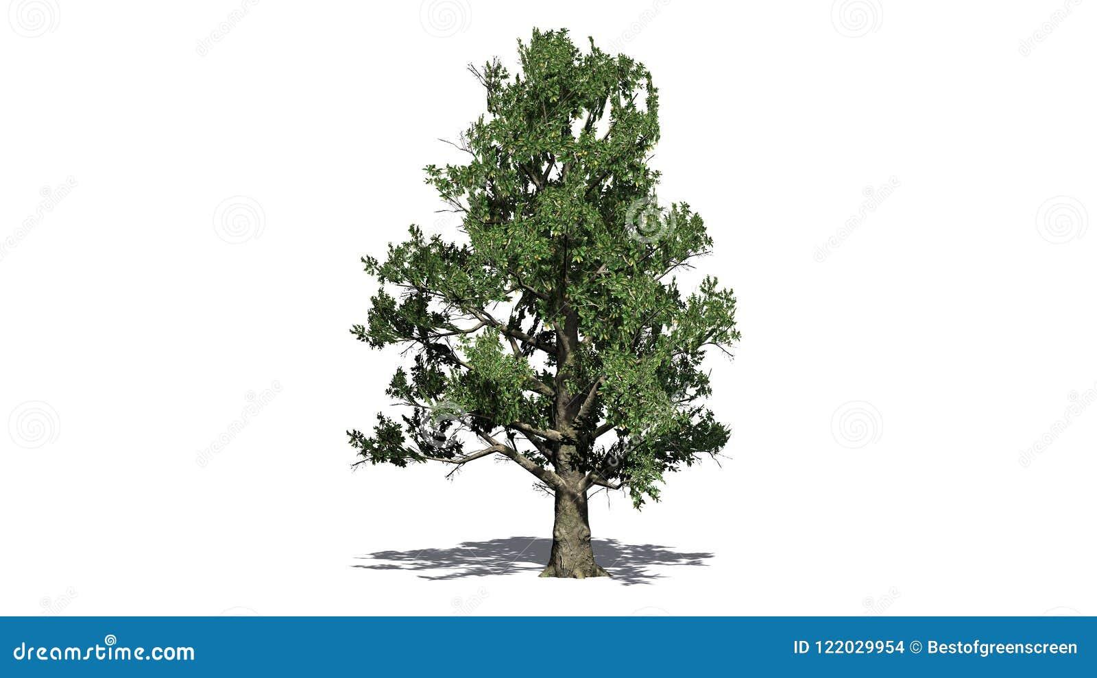 Árbol de la magnolia meridional