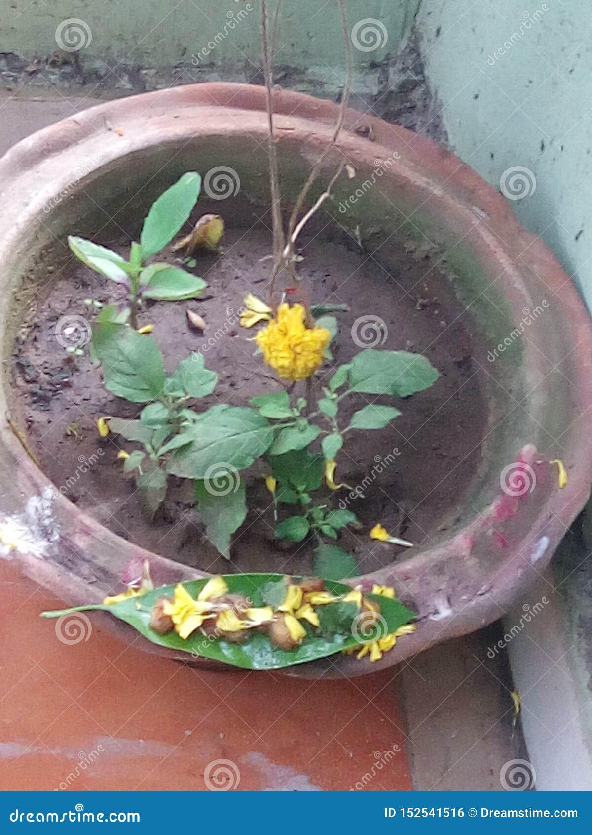Árbol de la medicina para la piedra de riñón