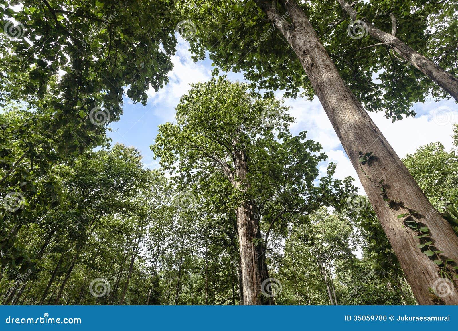 Árbol de la teca foto de archivo. Imagen de largest