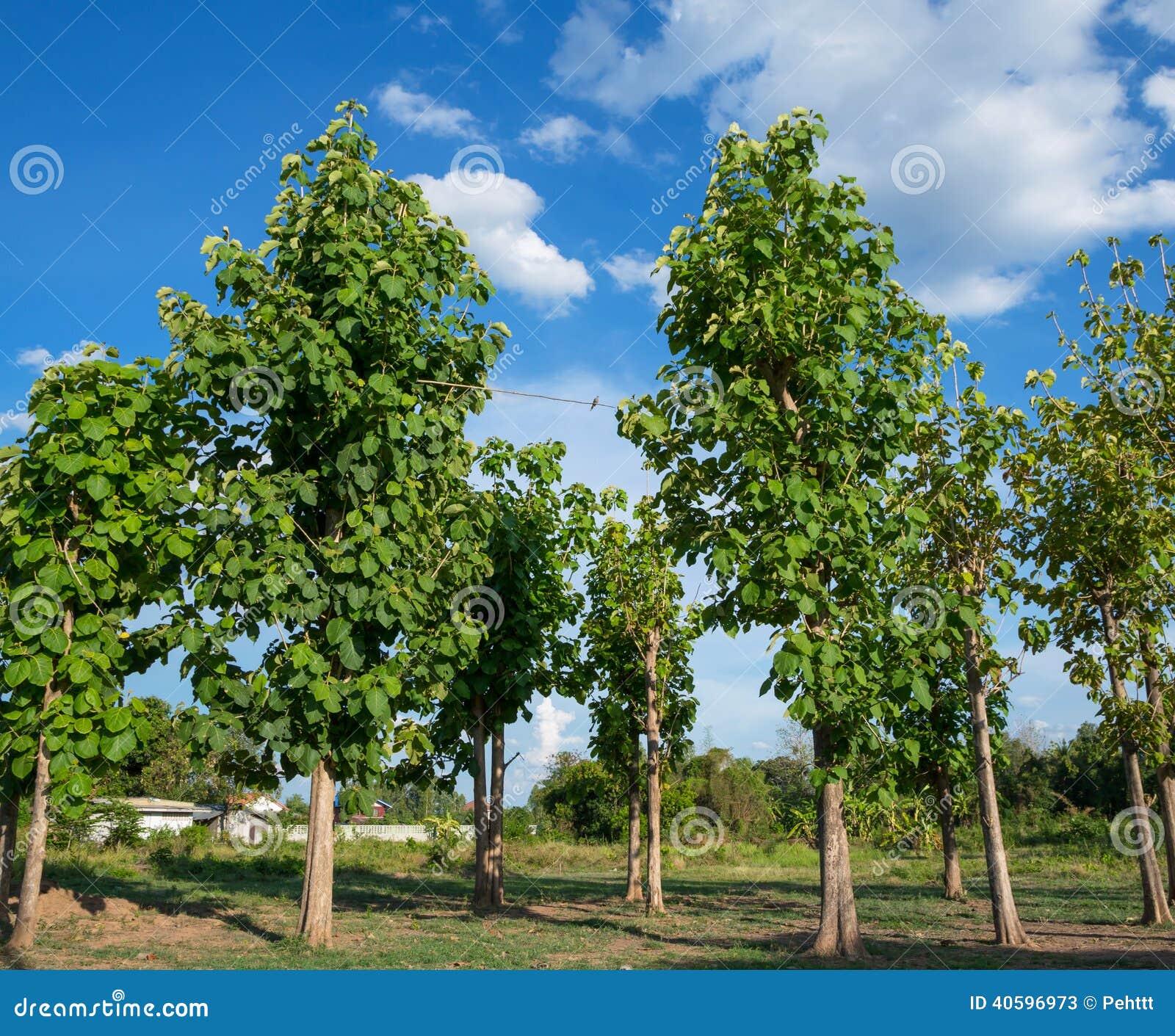Rbol de la teca y el cielo azul imagen de archivo for Arbol de fotos manual