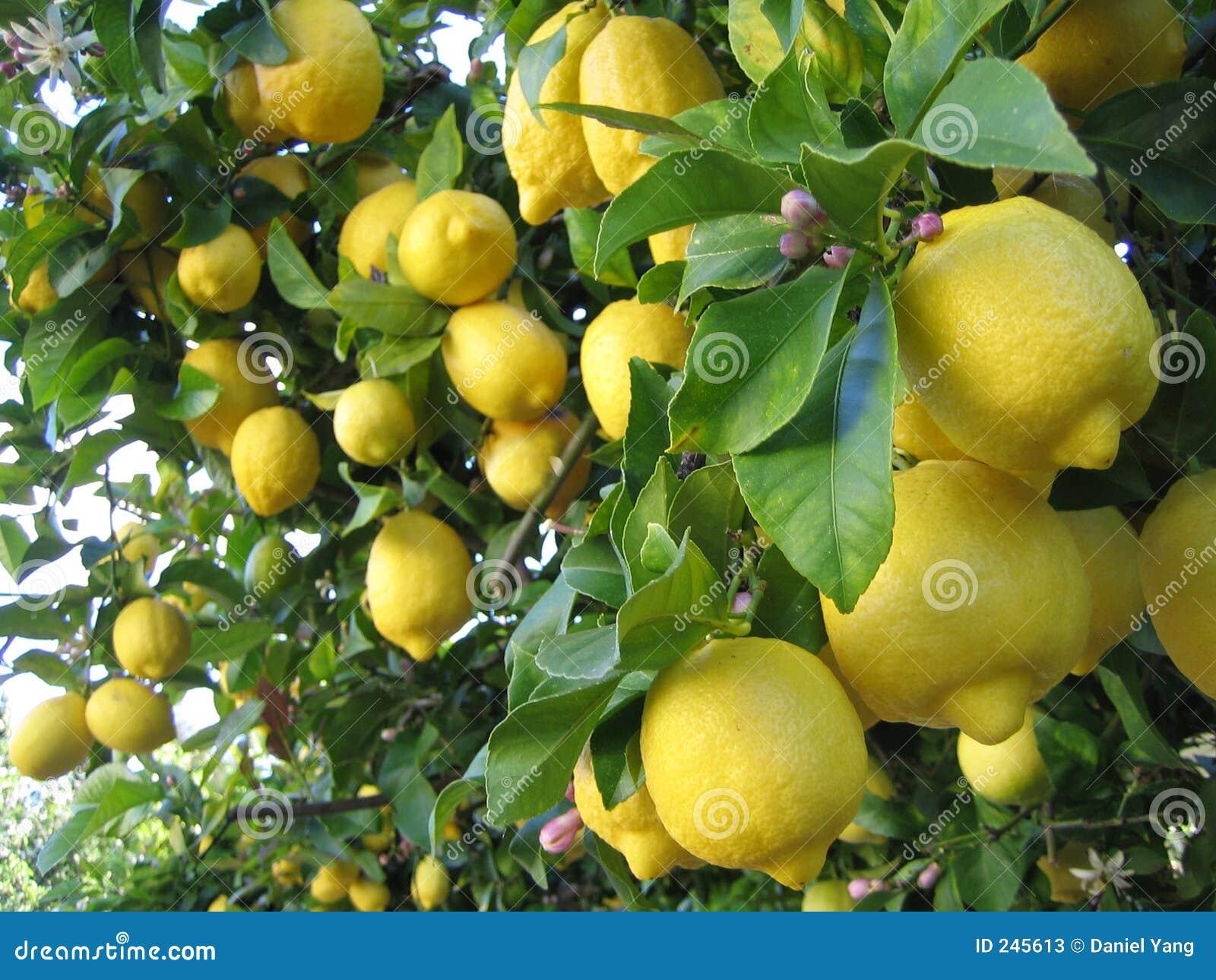Imagenes Animadas De Arboles De Mango: Árbol De Limón Imagen De Archivo. Imagen De Fruta, árbol