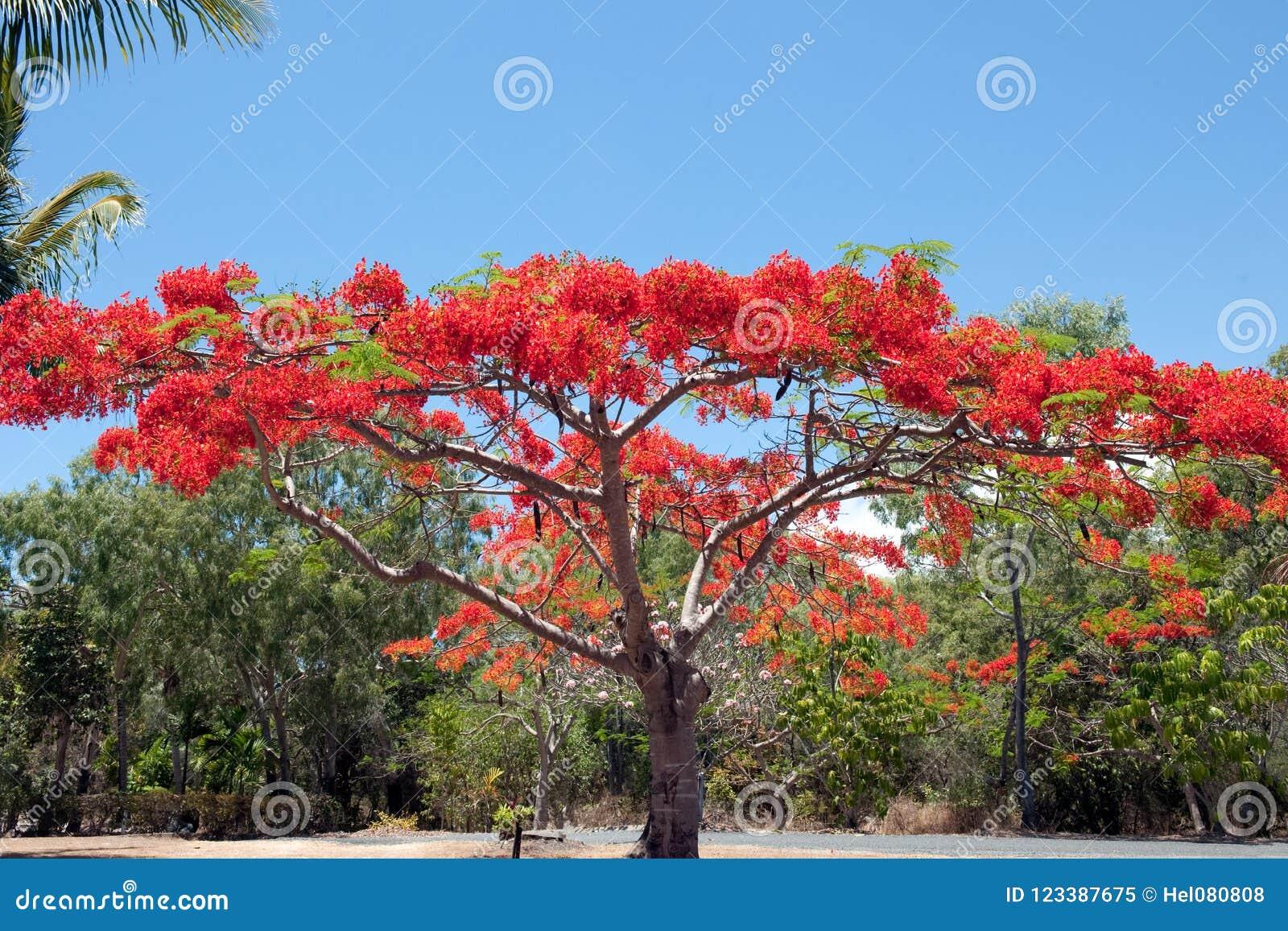 Árbol de llama en Australia