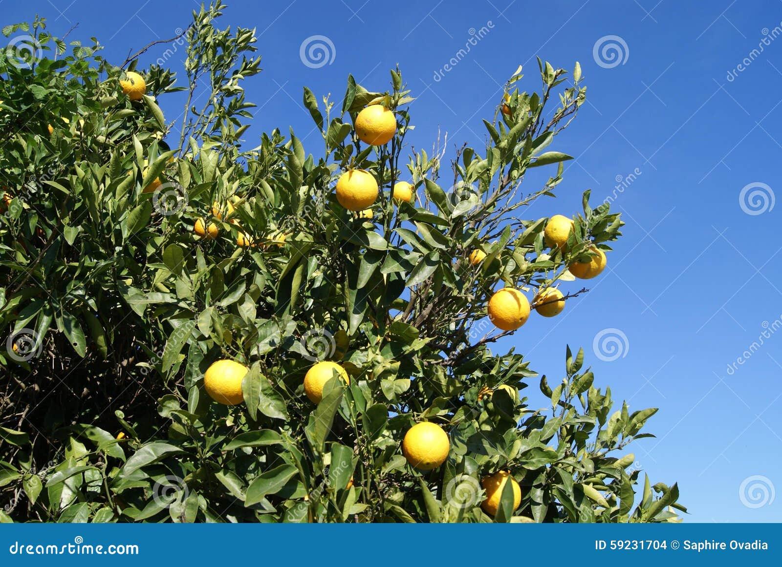 Download Árbol de los agrios foto de archivo. Imagen de sano, salud - 59231704