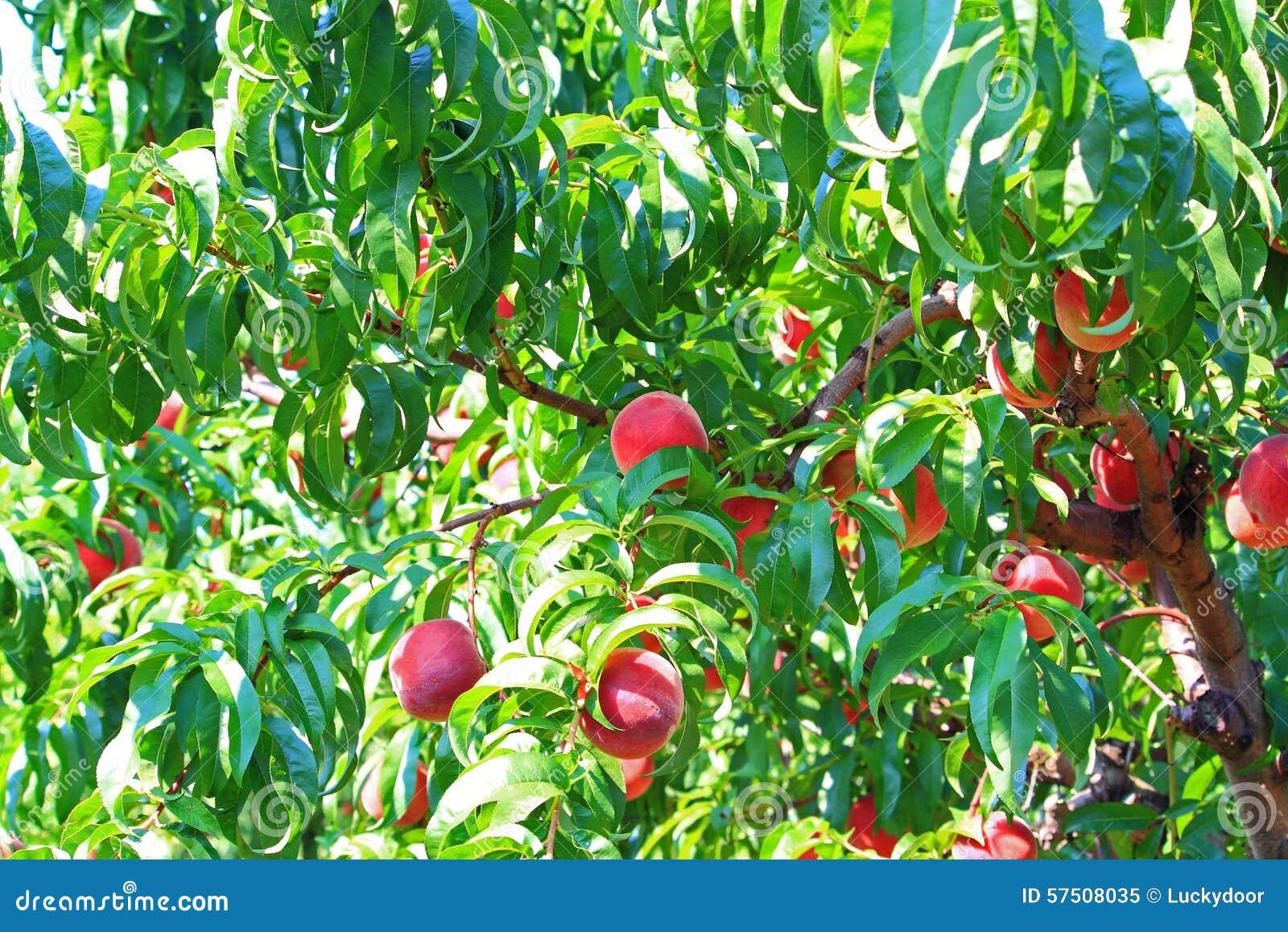 Árbol de melocotón