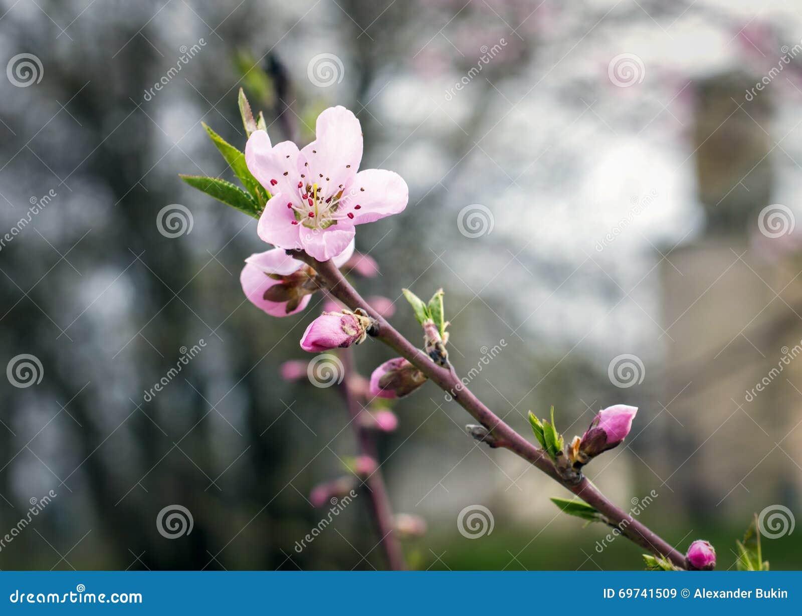 Árbol de melocotón floreciente en primavera