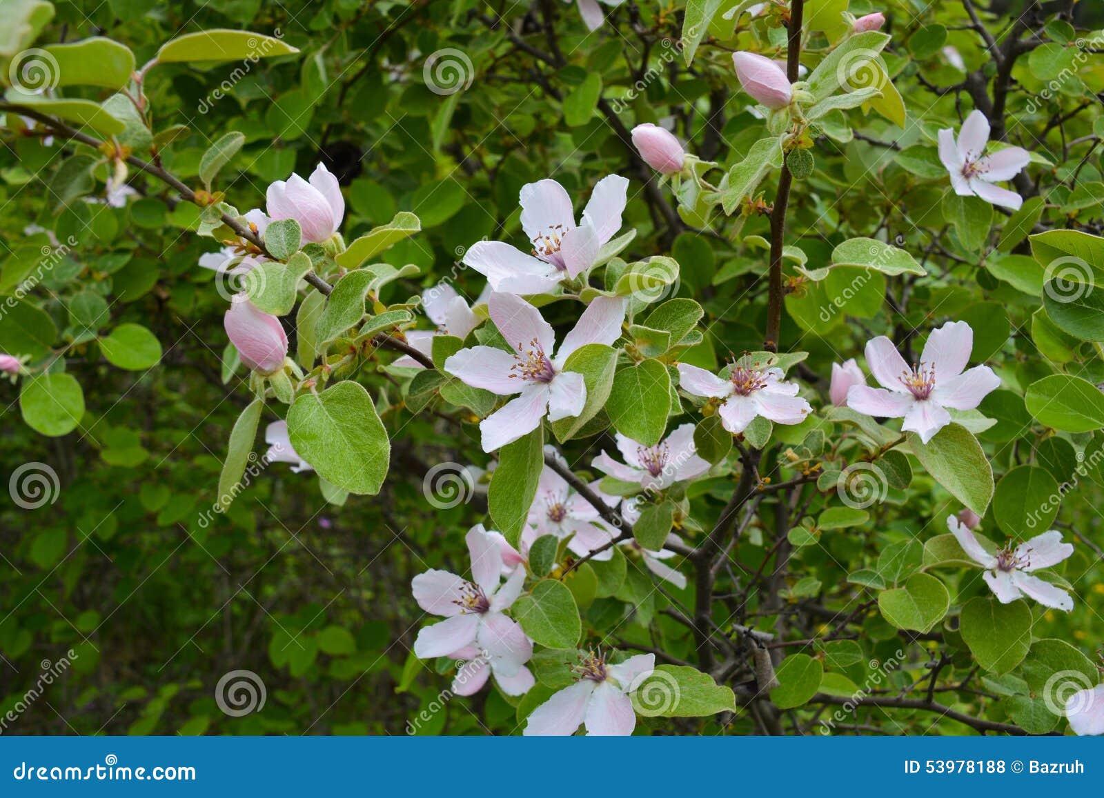 Rbol de membrillo floreciente en jard n foto de archivo imagen de blanco flores 53978188 - Membrillo arbol ...
