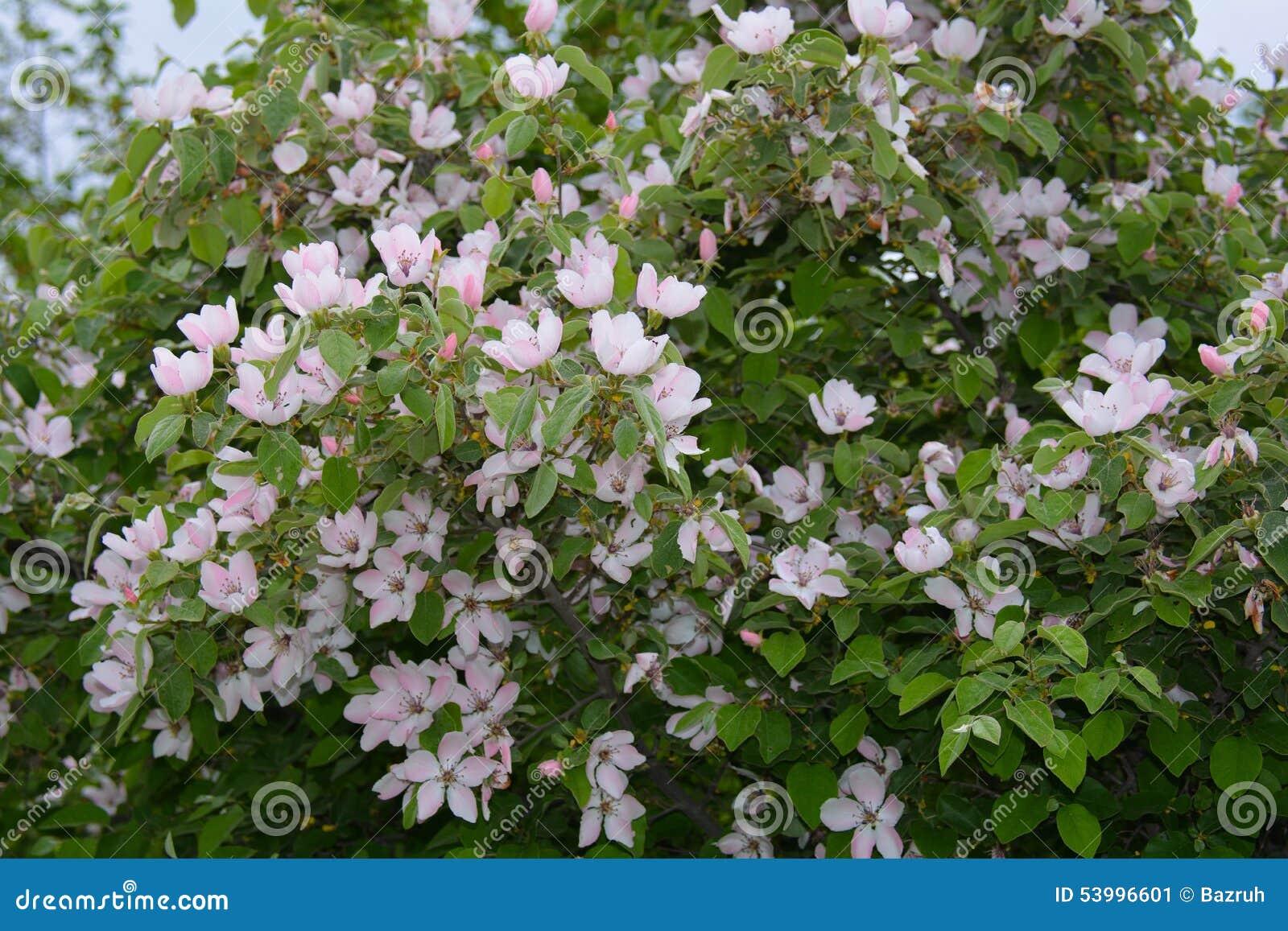 Rbol de membrillo floreciente en jard n imagen de archivo - Arbol de membrillo ...