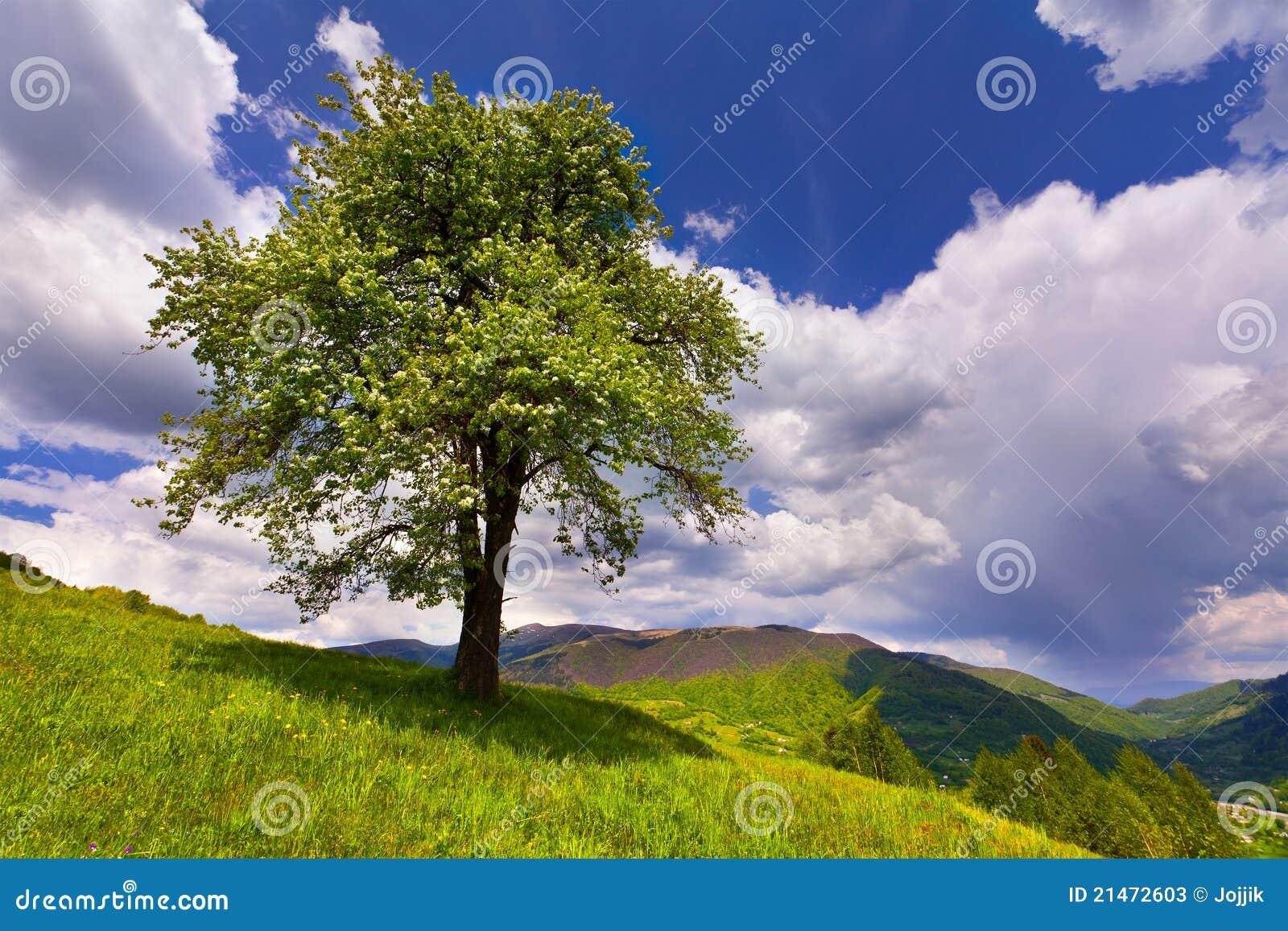 Árbol de pera floreciente