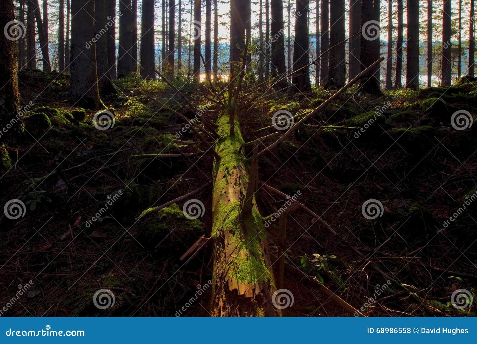Árbol de pino caido en un bosque del pino