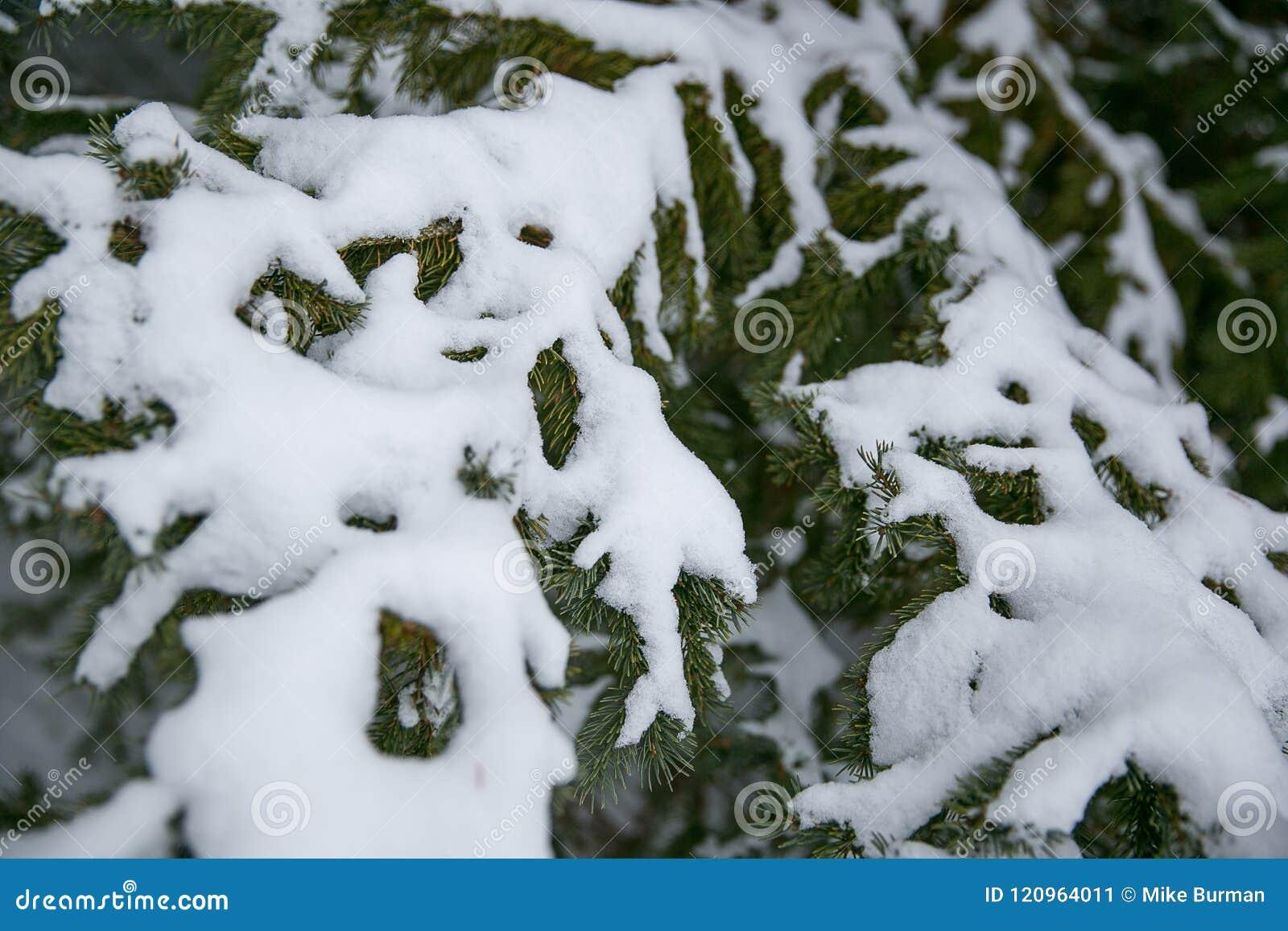 Árbol de pino de las cubiertas de nieve después de la tormenta del invierno