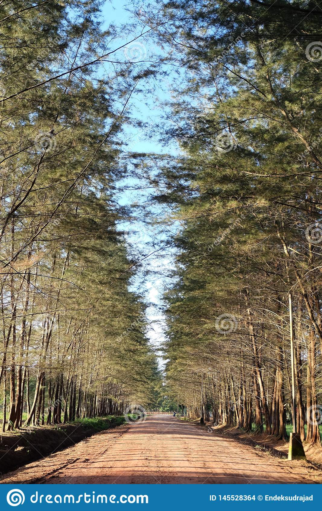 Árbol de pinos en el jardín botánico de Bangka