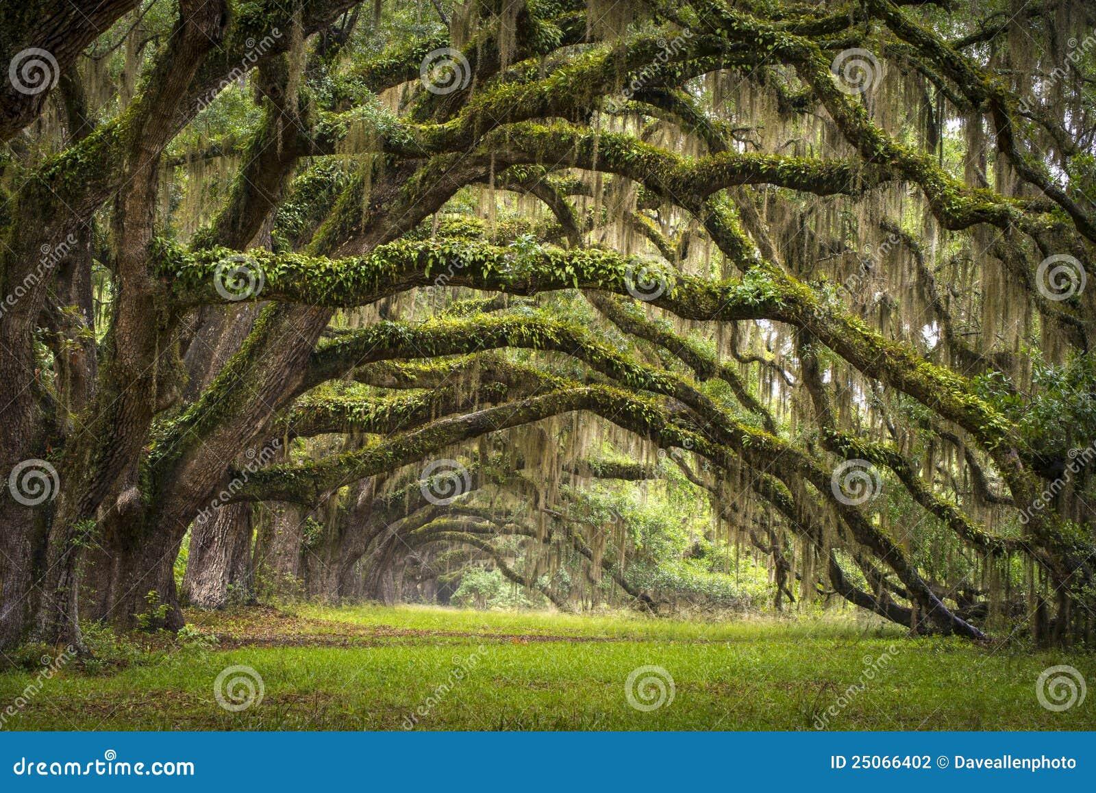 Árbol de roble vivo de la plantación del SC de Charleston de la avenida de los robles