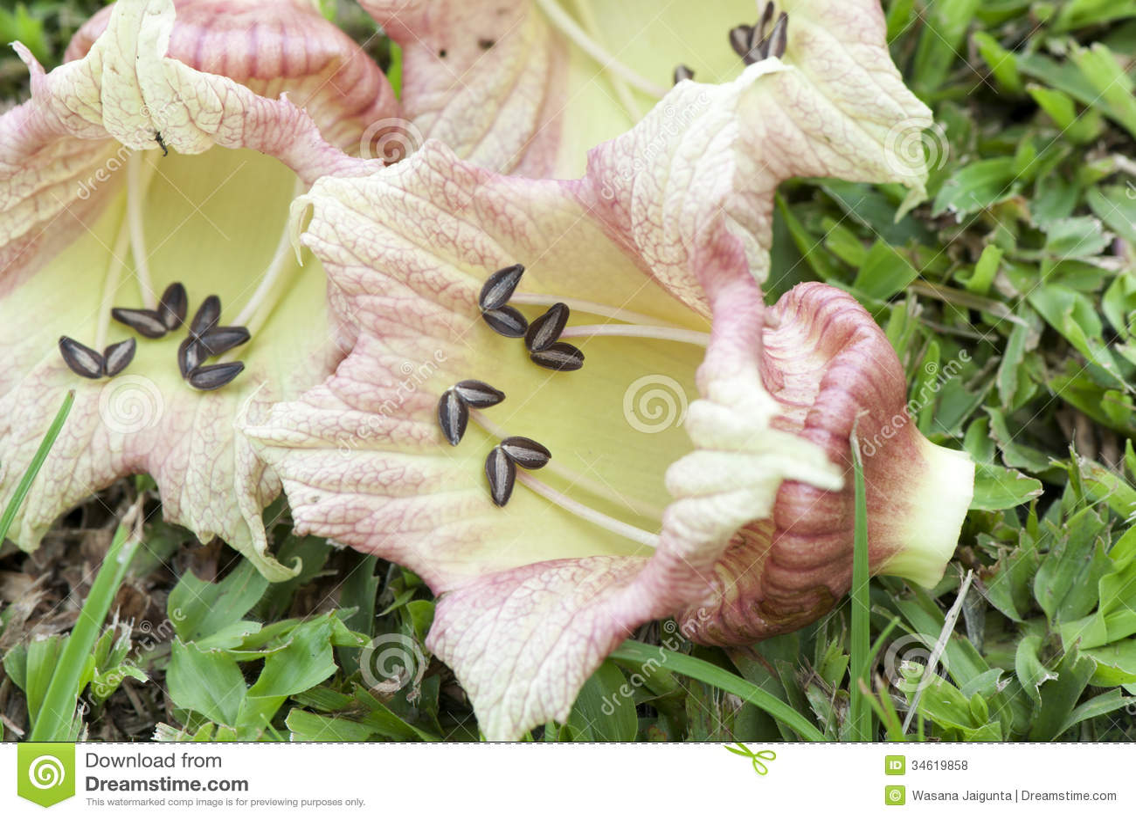 Árbol de tierra de la calabaza, calabaza mexicana (alata L. del Crescentia).
